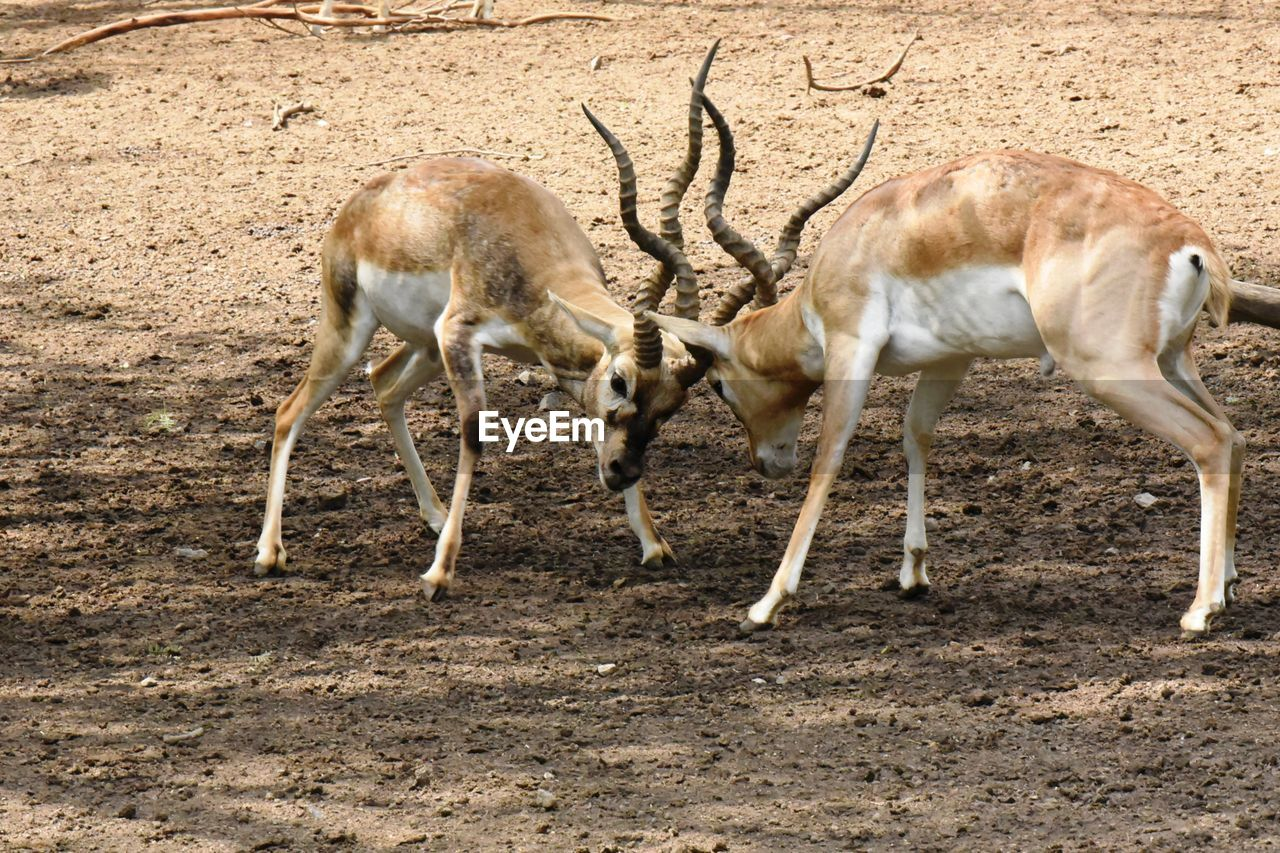 animal themes, animal, mammal, group of animals, animal wildlife, animals in the wild, deer, land, field, domestic animals, no people, vertebrate, two animals, nature, day, standing, full length, young animal, zoology, herbivorous, fawn