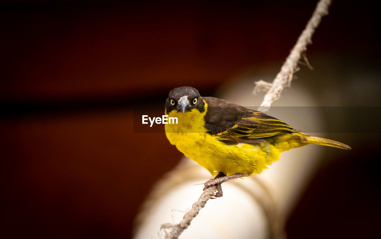 A village weaver bird perched in a rope
