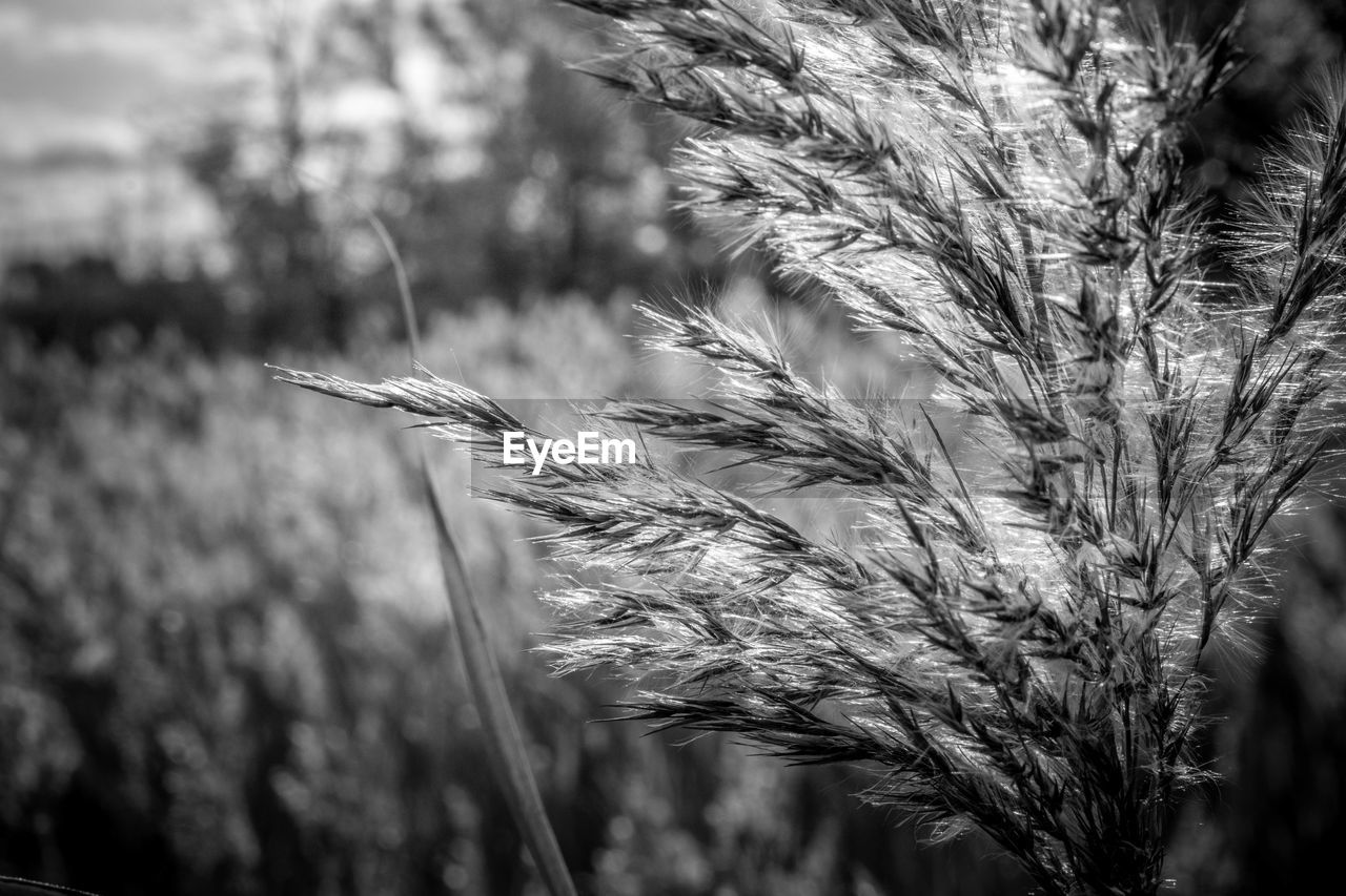 growth, nature, plant, wheat, field, cereal plant, crop, agriculture, outdoors, close-up, ear of wheat, beauty in nature, rural scene, no people, day