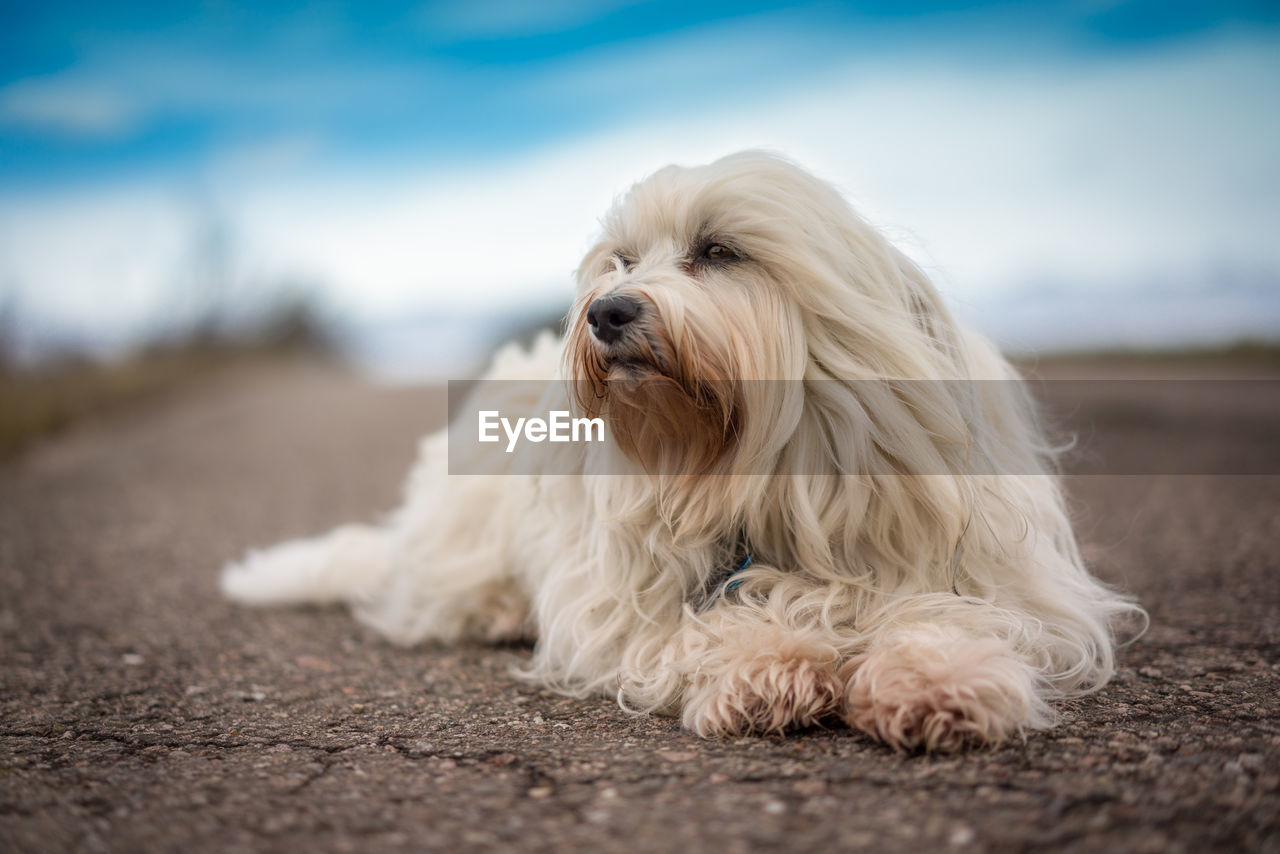 domestic, pets, one animal, domestic animals, canine, dog, mammal, animal, animal themes, hair, white color, animal hair, vertebrate, no people, day, selective focus, relaxation, focus on foreground, sky, outdoors, surface level