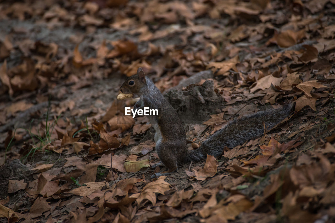 animal themes, animal, animal wildlife, animals in the wild, one animal, land, field, vertebrate, mammal, plant part, no people, leaf, nature, day, selective focus, rodent, dry, squirrel, outdoors, high angle view, leaves, change, animal head