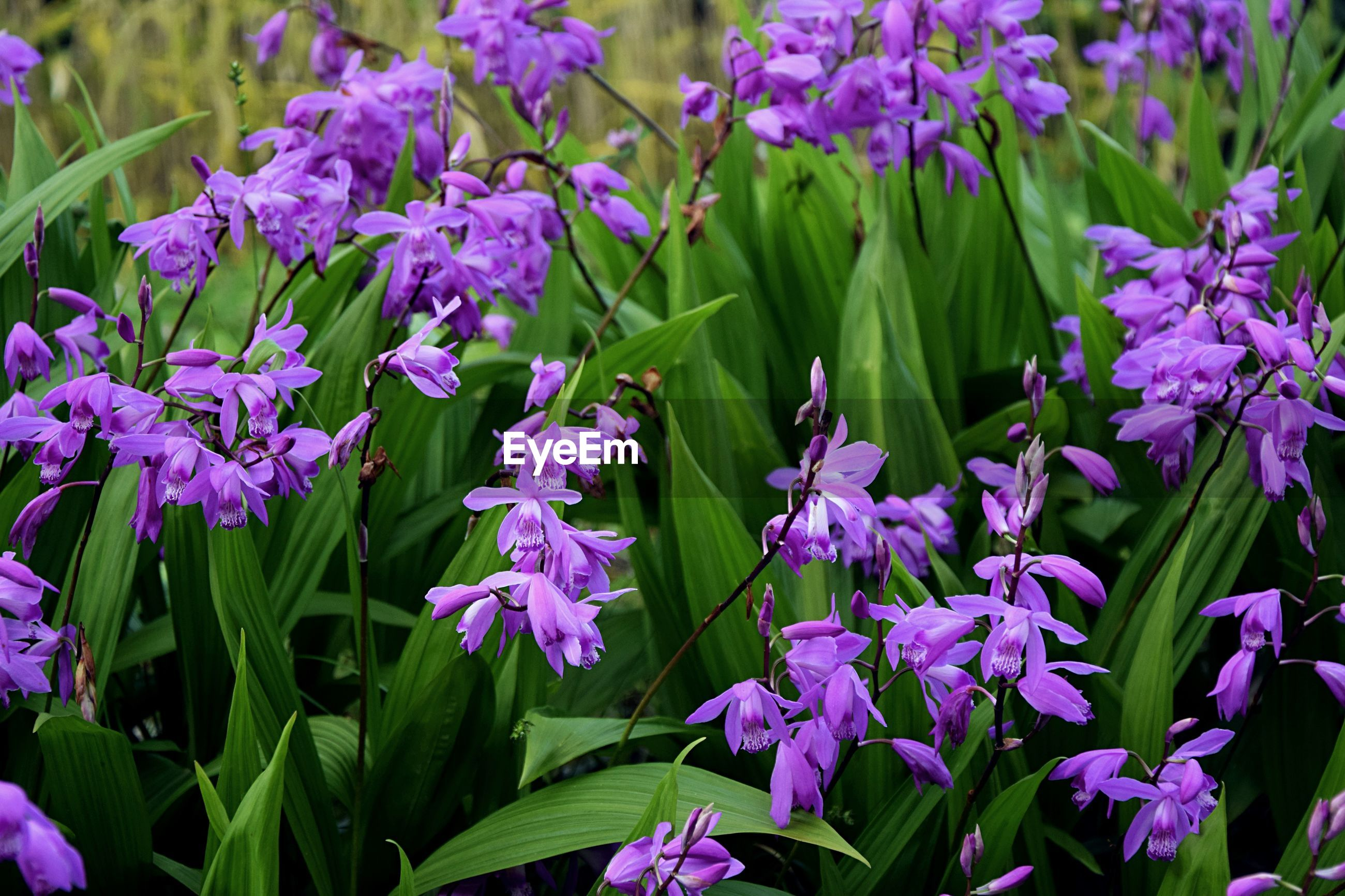 CLOSE-UP OF PURPLE FLOWERS BLOOMING IN PLANT