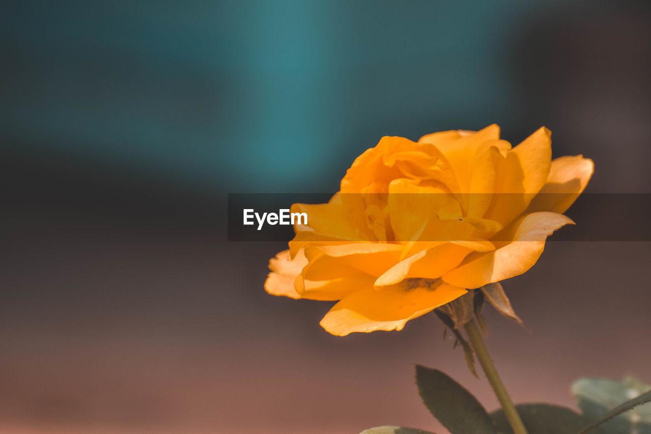 CLOSE-UP OF ORANGE ROSE FLOWER AGAINST BLURRED BACKGROUND