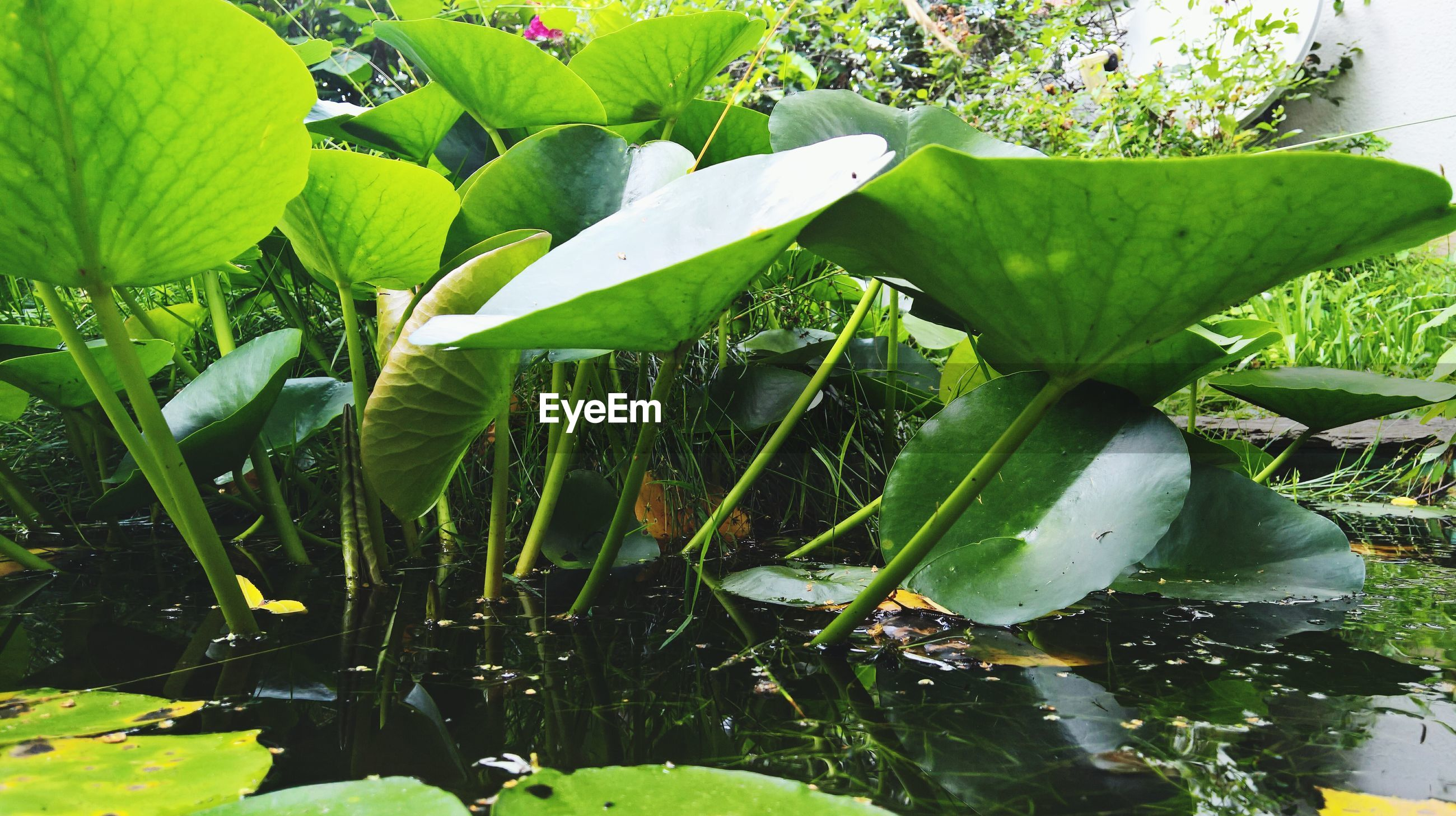 leaf, growth, green color, nature, plant, beauty in nature, day, outdoors, freshness, no people, water, close-up