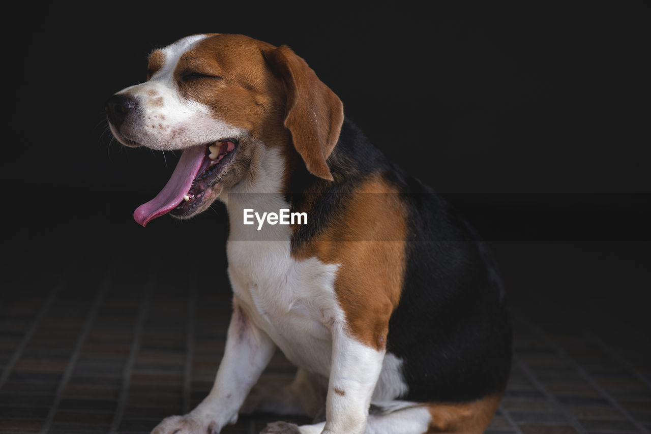 one animal, domestic animals, domestic, dog, mammal, canine, pets, animal themes, animal, vertebrate, looking away, looking, sitting, no people, indoors, flooring, close-up, facial expression, animal body part, panting, mouth open
