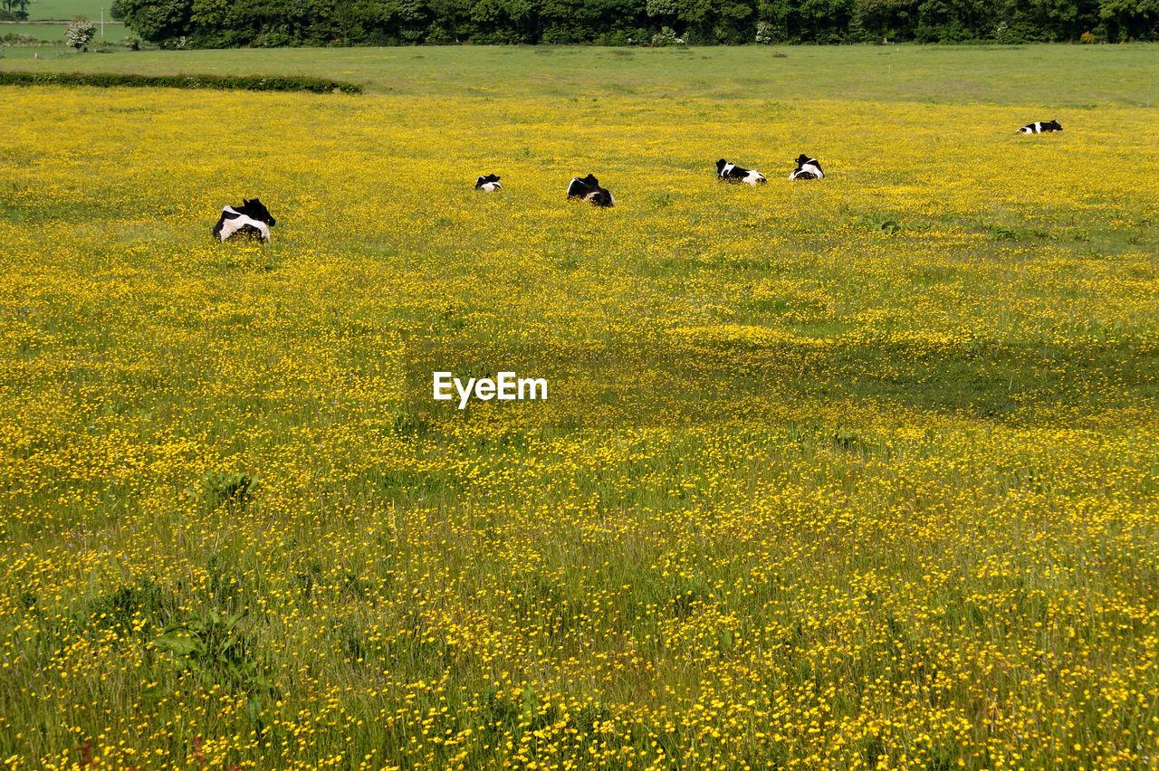 FLOCK OF SHEEP GRAZING IN GRASSY FIELD