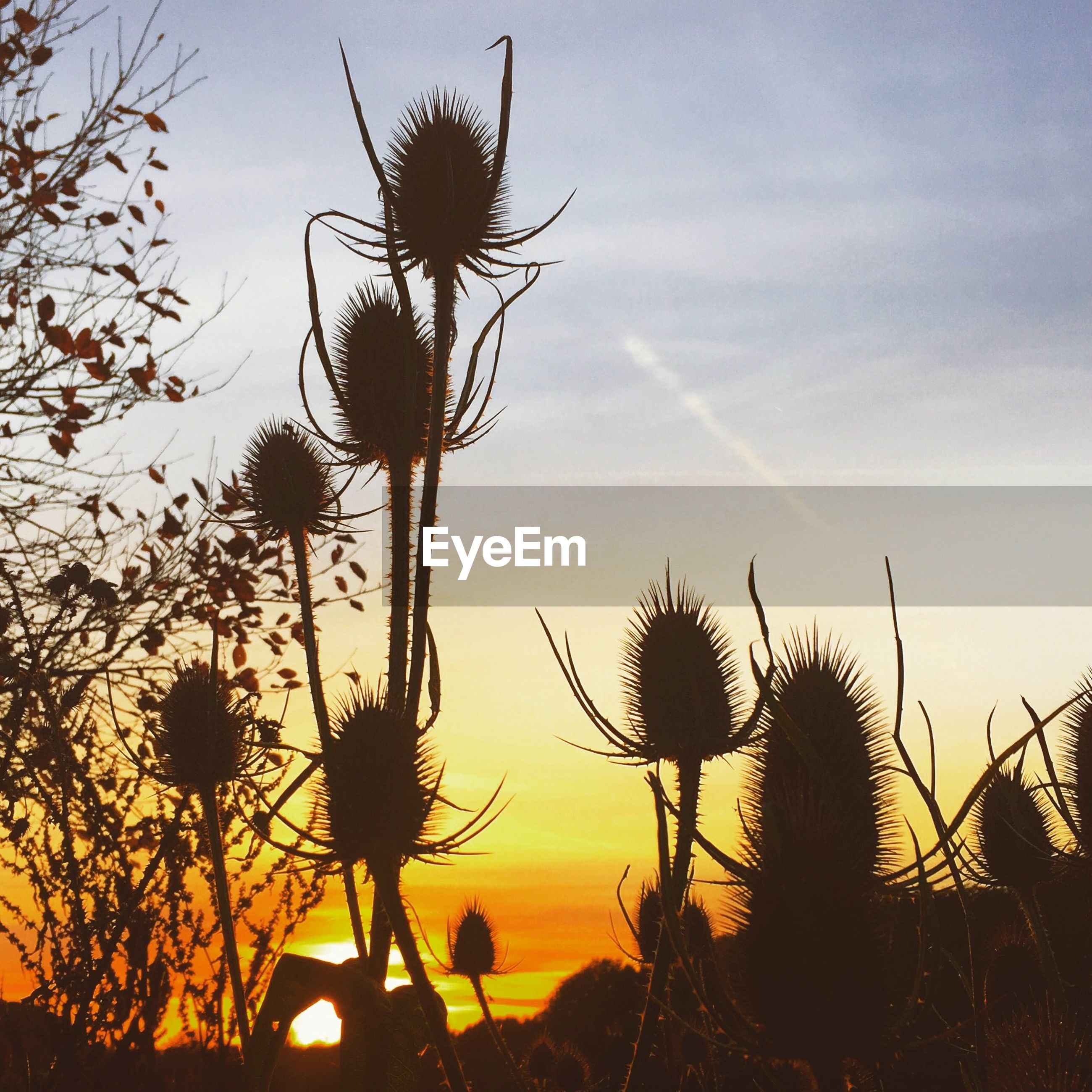 Silhouette thistle flowers against sunset sky
