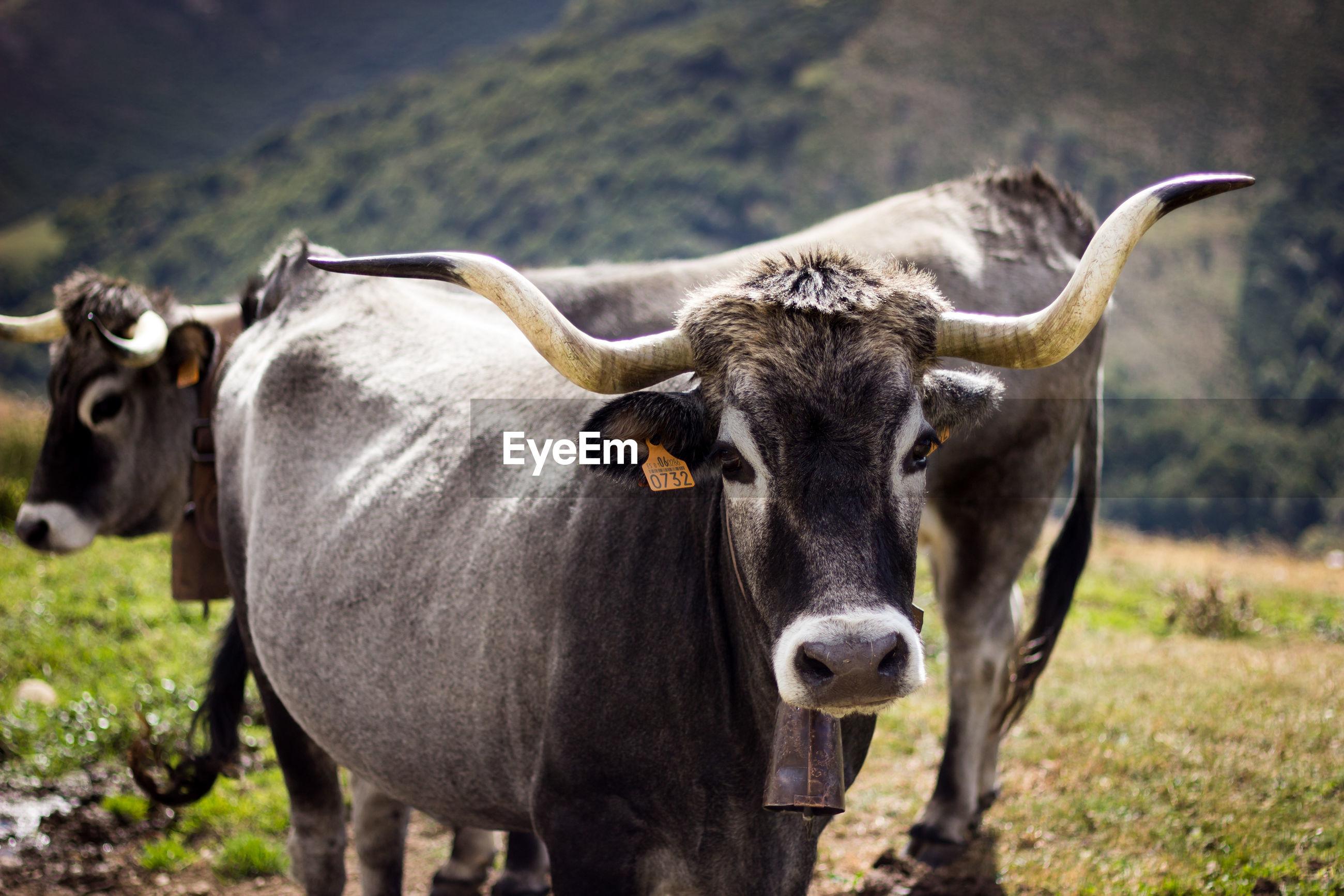 Portrait of cattle on field