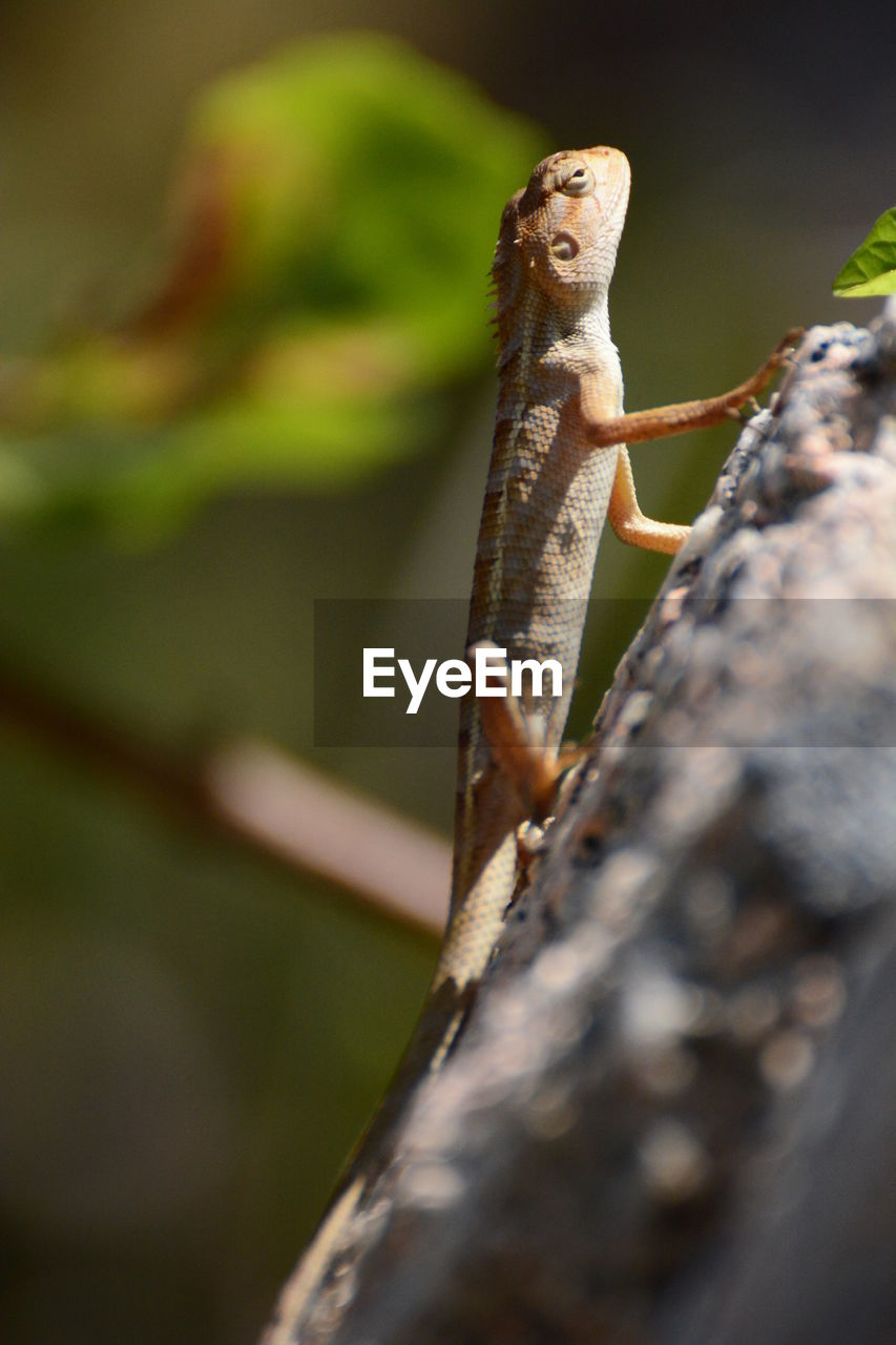 animal, animal themes, animal wildlife, animals in the wild, one animal, selective focus, no people, close-up, day, reptile, nature, lizard, rock, solid, outdoors, focus on foreground, vertebrate, plant, rock - object, tree