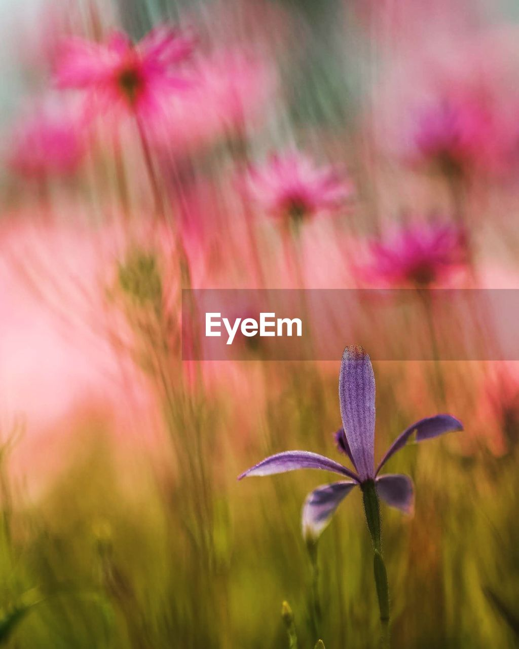 flower, flowering plant, fragility, vulnerability, plant, beauty in nature, growth, freshness, close-up, pink color, petal, field, nature, inflorescence, selective focus, flower head, land, no people, outdoors, purple, softness