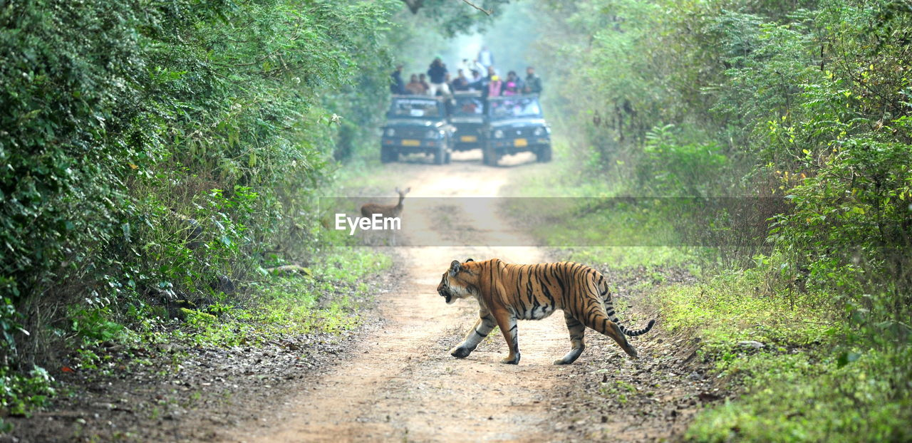 Tiger Walking On Dirt Road Amidst Trees