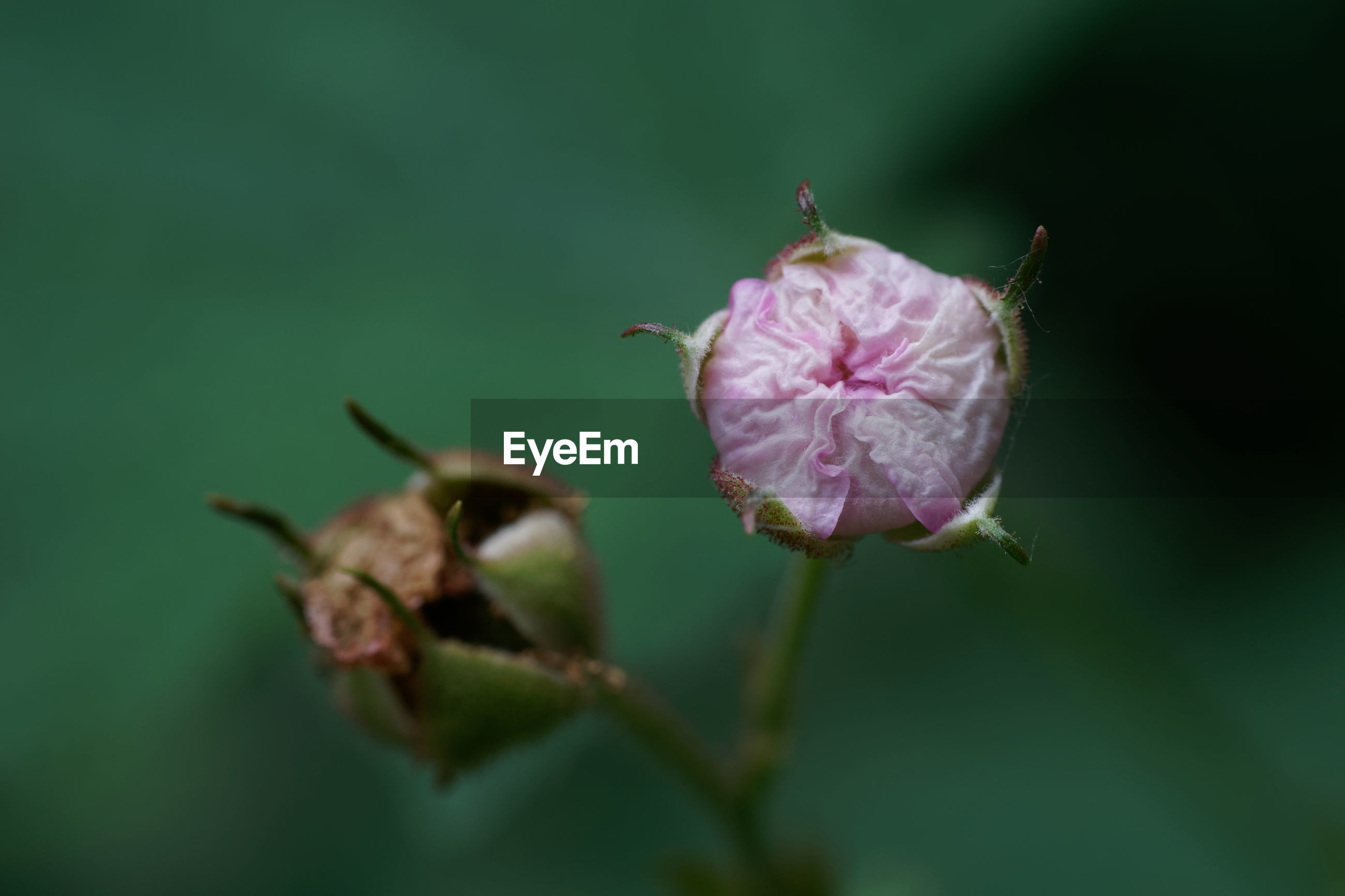 CLOSE-UP OF WILTED PINK FLOWER