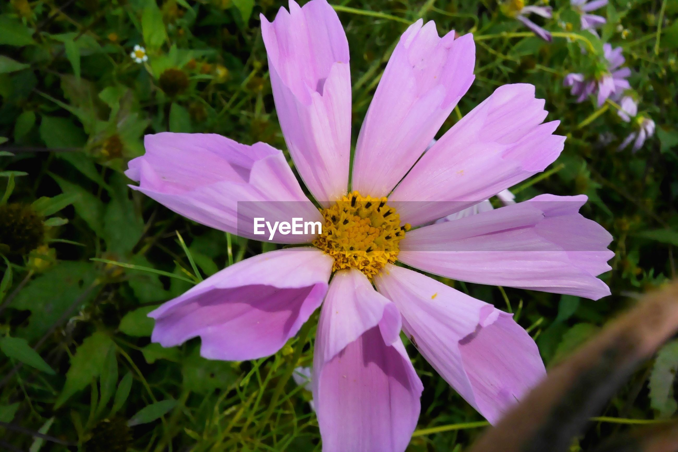 CLOSE-UP OF FRESH PINK FLOWER BLOOMING IN GARDEN