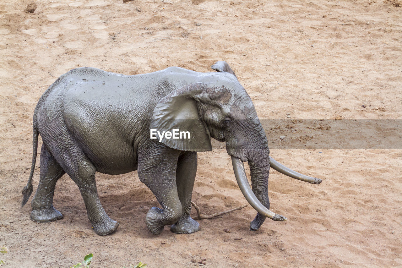 High angle view of elephant walking on land
