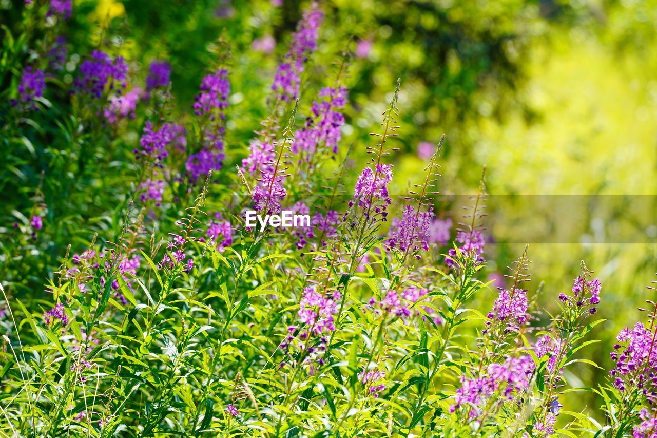 flowering plant, flower, plant, beauty in nature, growth, green color, freshness, vulnerability, fragility, nature, garden, day, flower head, no people, land, close-up, botany, field, focus on foreground, purple, outdoors, ornamental garden, herb, flowerbed, sage, springtime