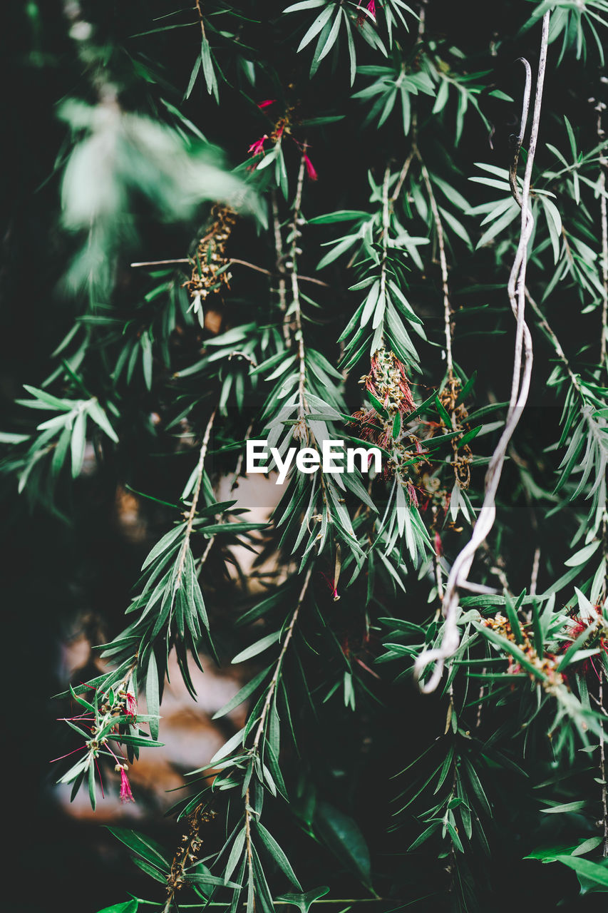 plant, growth, green color, tree, close-up, nature, day, beauty in nature, pine tree, leaf, needle - plant part, plant part, branch, no people, focus on foreground, coniferous tree, outdoors, tranquility, pinaceae, freshness, fir tree