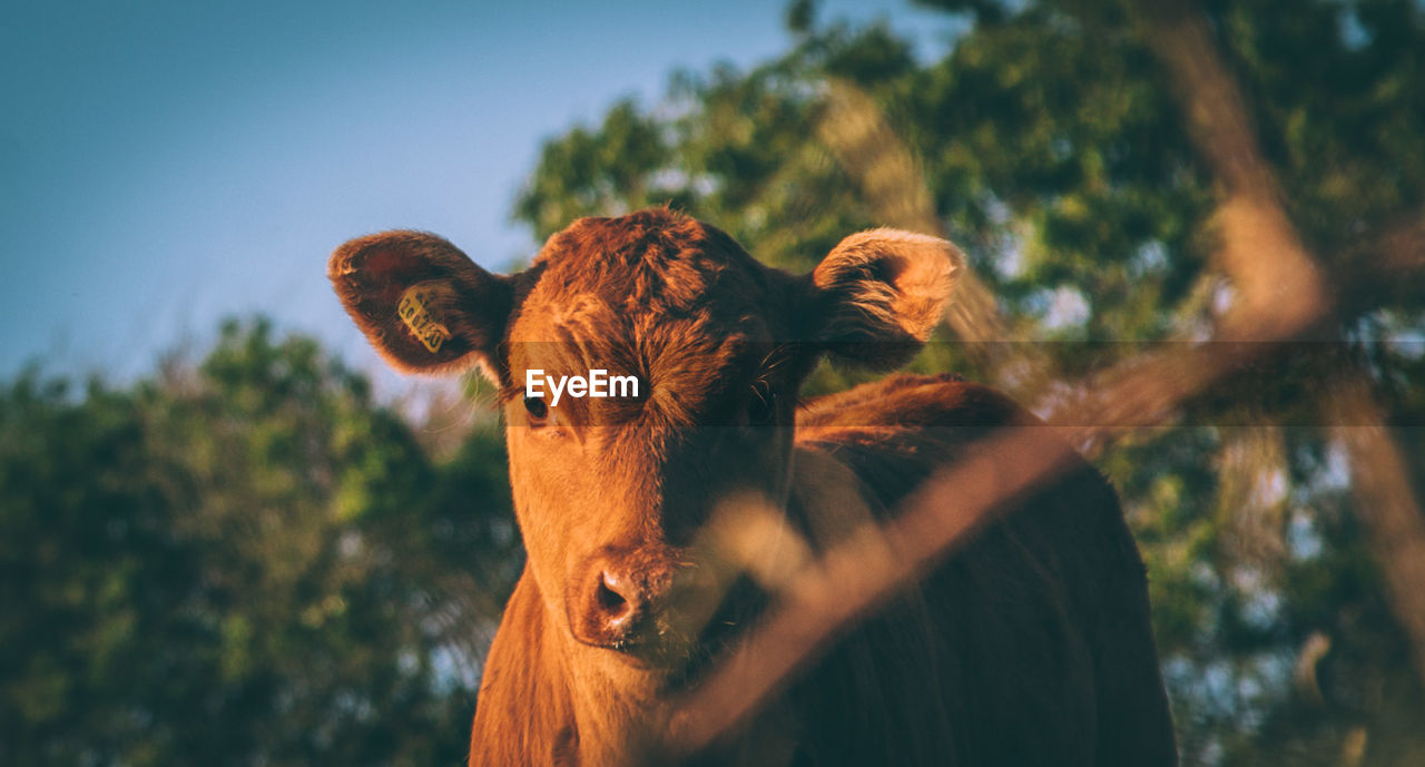 Portrait Of Cow During Sunset