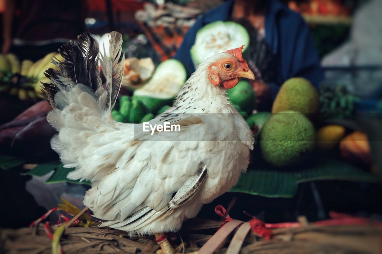 Close-Up Of Hen In Market
