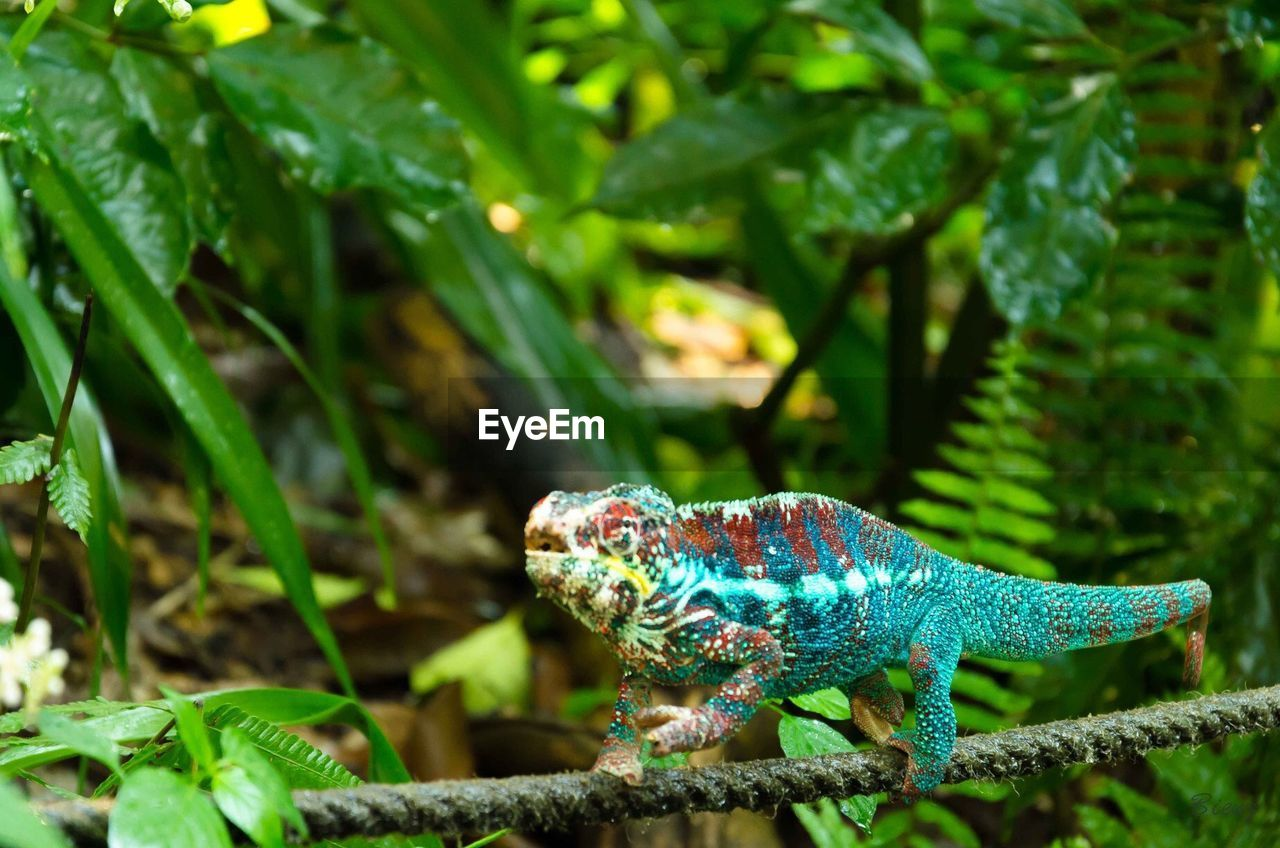 animal themes, animal, animal wildlife, green color, one animal, lizard, reptile, animals in the wild, vertebrate, plant, nature, focus on foreground, chameleon, plant part, no people, leaf, day, growth, close-up, tree, outdoors, animal scale, iguana