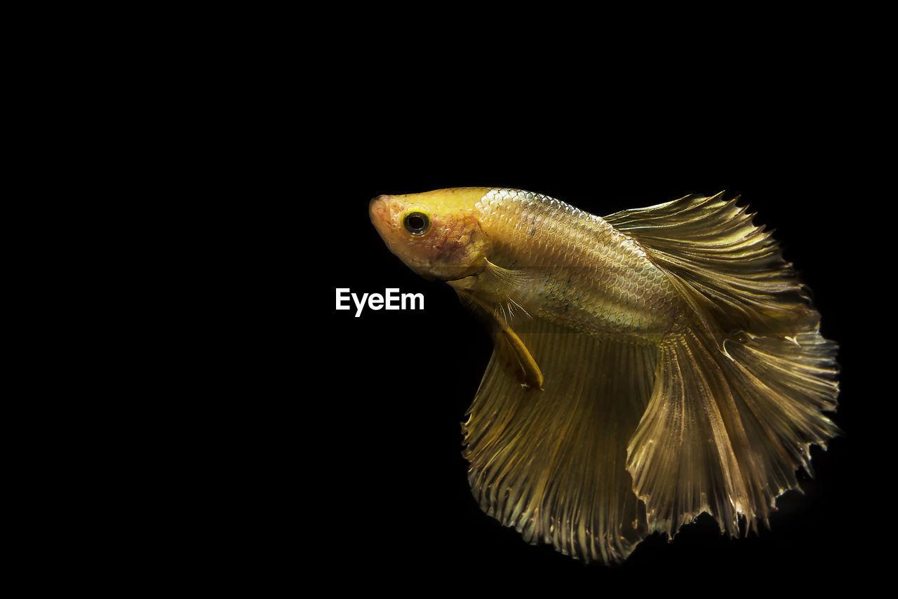 Close-up of siamese fighting fish undersea