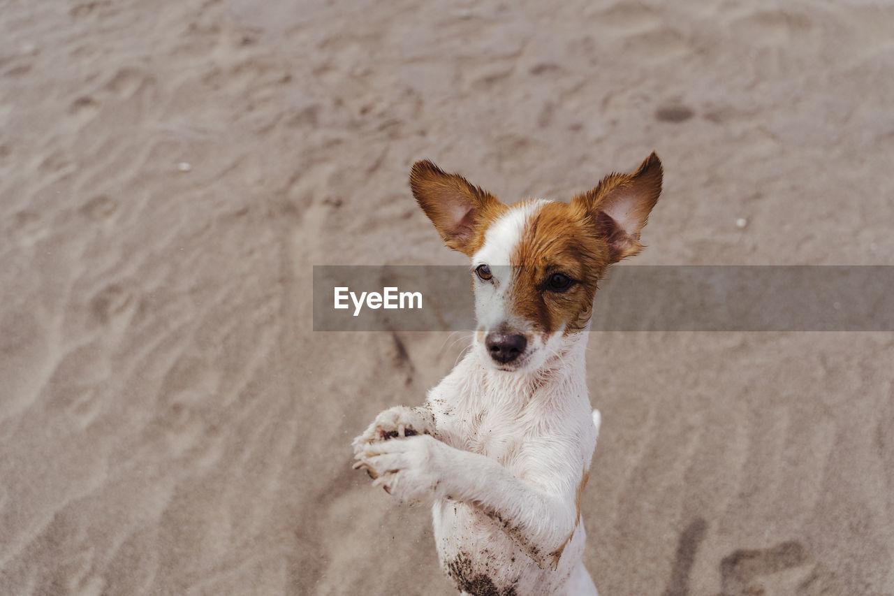 HIGH ANGLE PORTRAIT OF A DOG ON BEACH