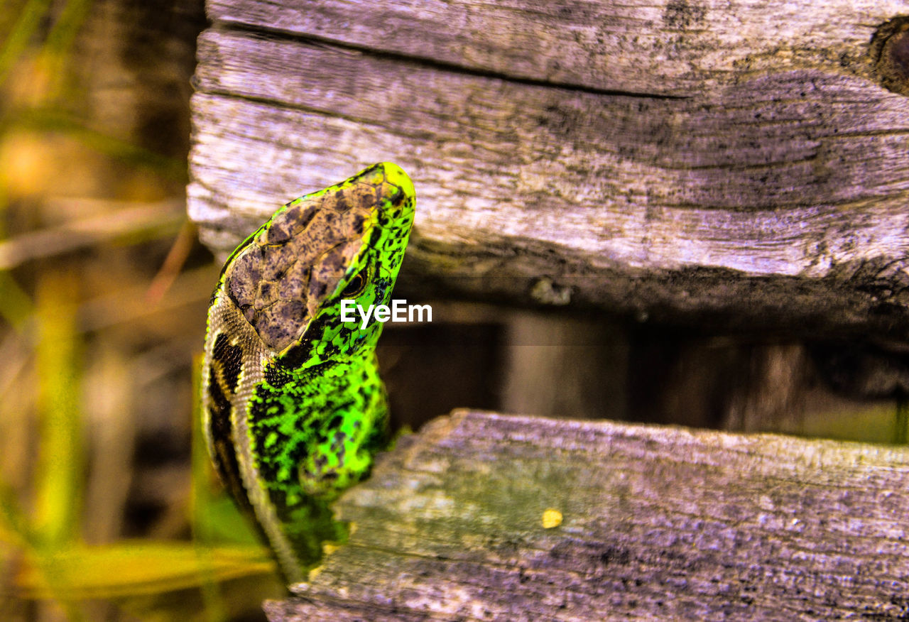 animal wildlife, animal themes, animals in the wild, one animal, animal, wood - material, no people, green color, vertebrate, close-up, day, focus on foreground, reptile, nature, tree, outdoors, selective focus, lizard, plant, beauty in nature