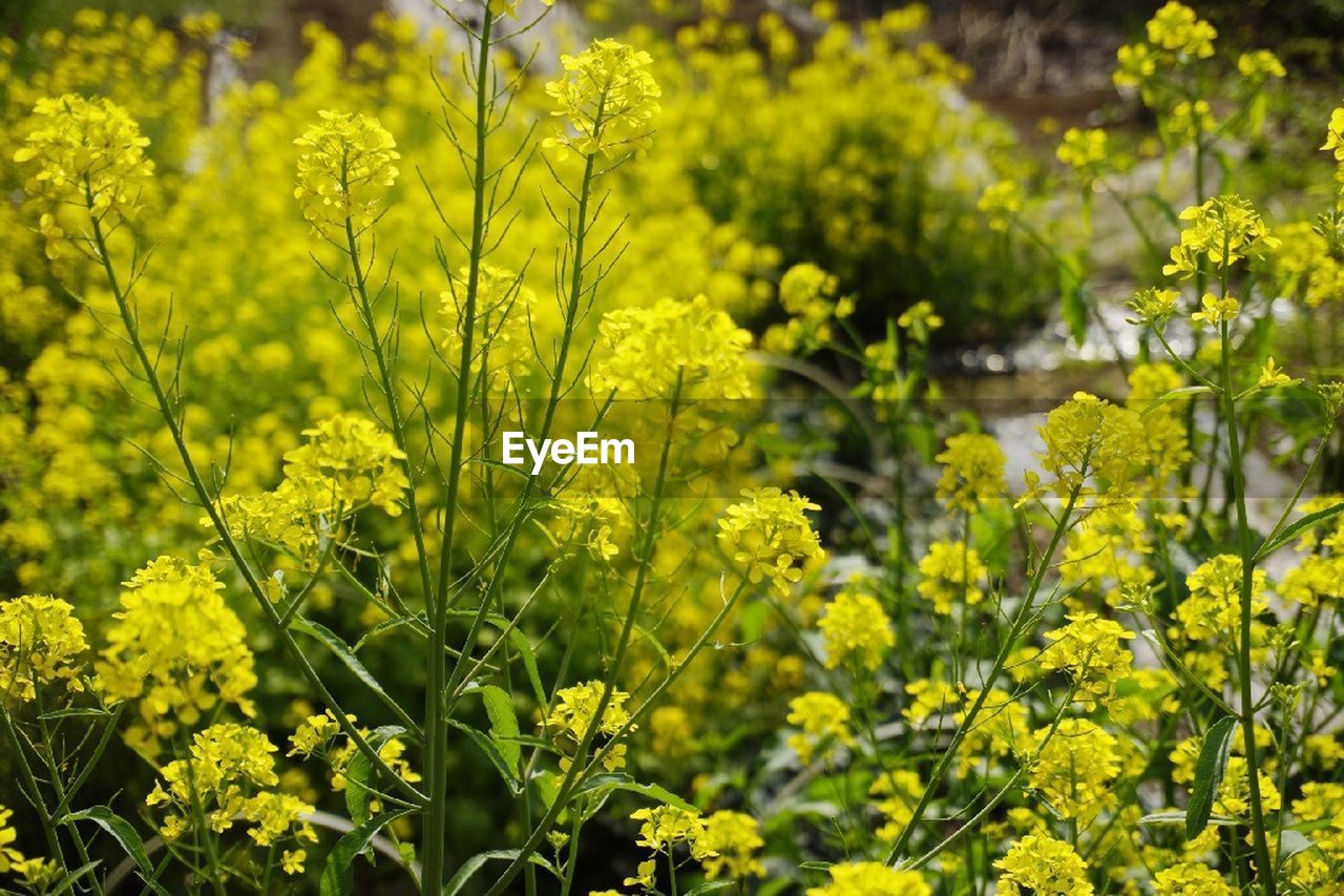 yellow, nature, growth, green color, beauty in nature, plant, agriculture, outdoors, day, mustard plant, no people, oilseed rape, flower, freshness, tree