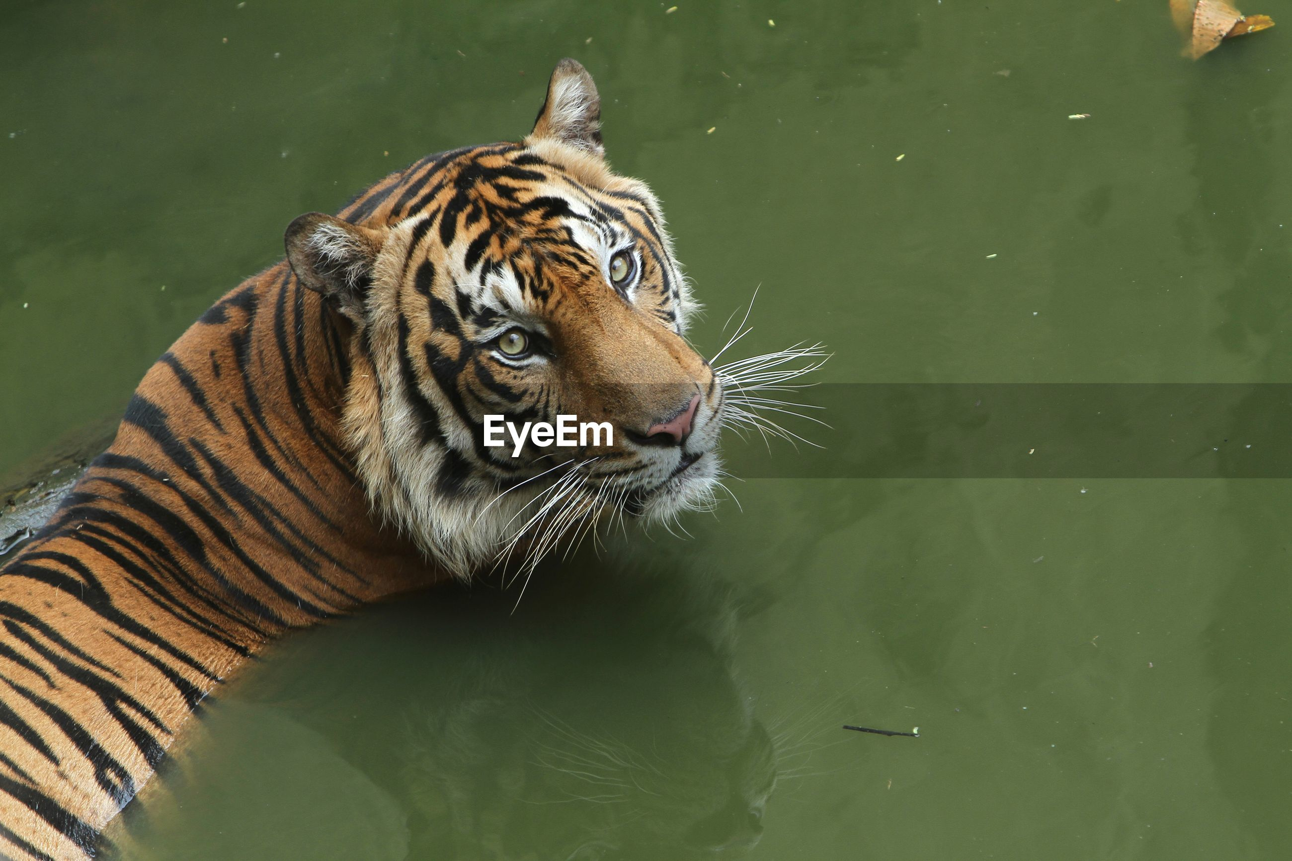 Tiger in a lake