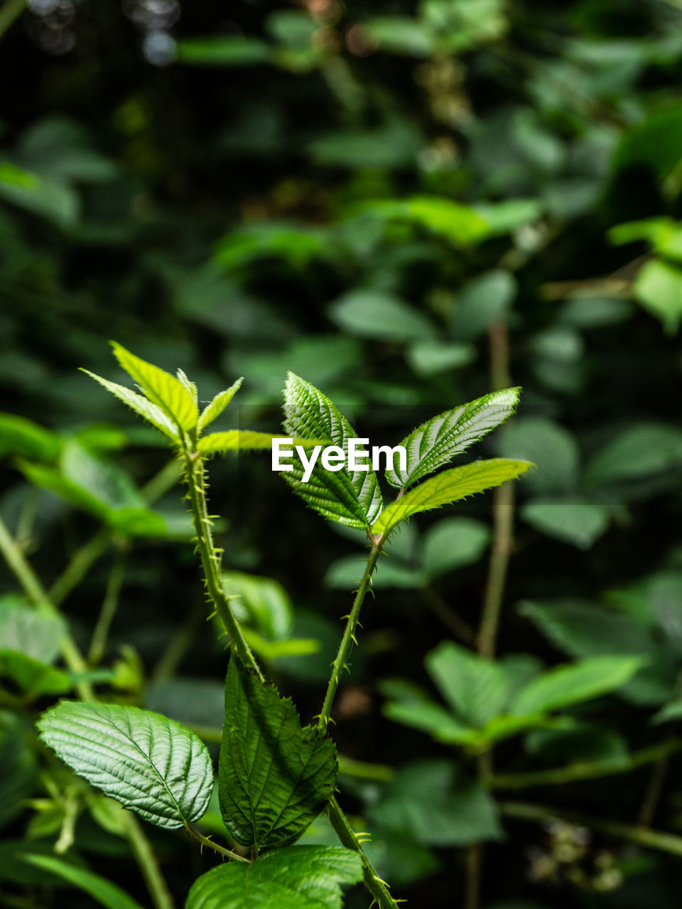 growth, green color, leaf, plant part, plant, beauty in nature, nature, close-up, day, no people, focus on foreground, outdoors, freshness, tranquility, selective focus, field, vulnerability, land, fragility, herb, leaves