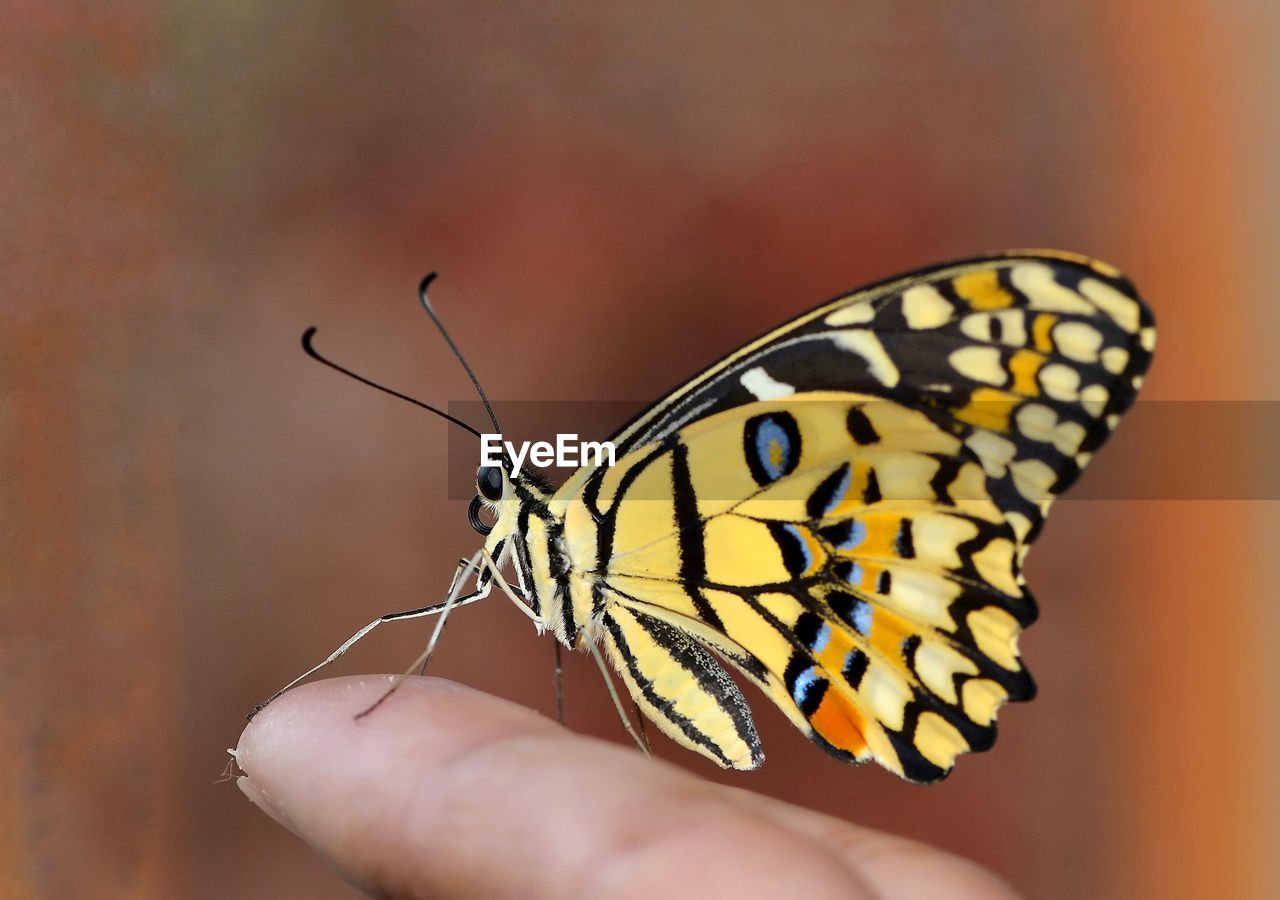 human body part, animal, invertebrate, insect, animal themes, animal wildlife, animals in the wild, human hand, one animal, animal wing, hand, one person, butterfly - insect, body part, close-up, real people, finger, unrecognizable person, human finger, beauty in nature, outdoors, butterfly