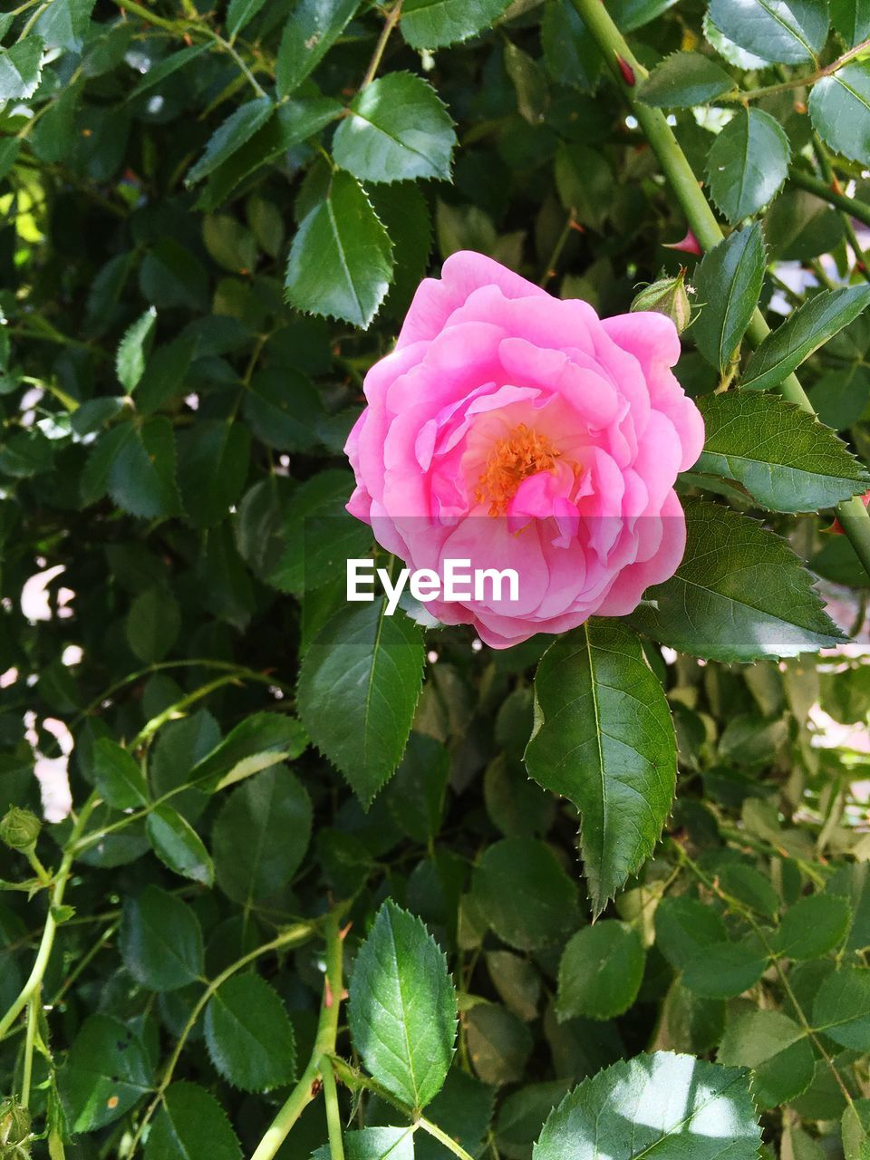 plant, pink color, leaf, beauty in nature, plant part, rose, flower, flowering plant, growth, freshness, close-up, vulnerability, petal, fragility, flower head, rose - flower, inflorescence, day, nature, green color, no people, outdoors