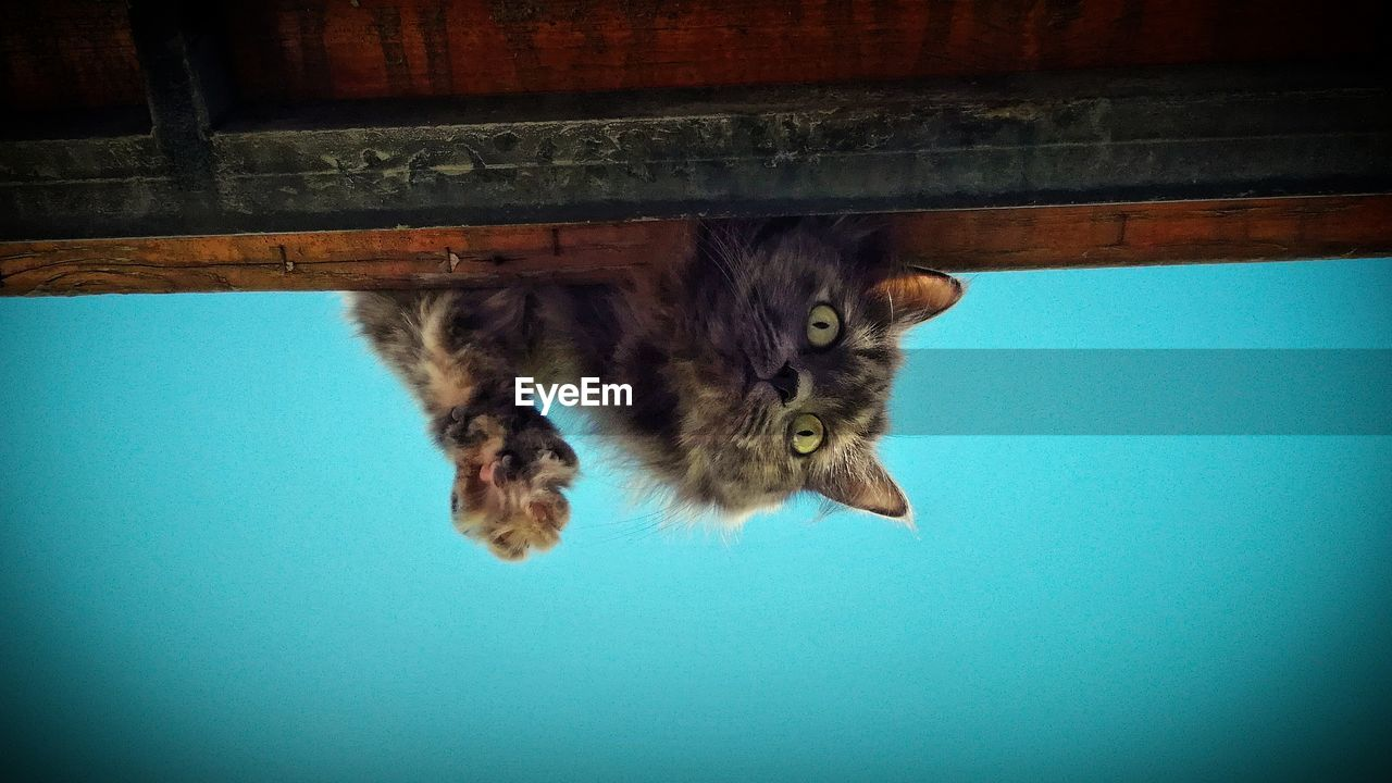 mammal, animal themes, animal, domestic, domestic animals, domestic cat, pets, cat, one animal, vertebrate, feline, no people, indoors, vignette, day, hanging, low angle view, close-up, nature, blue, animal head, whisker