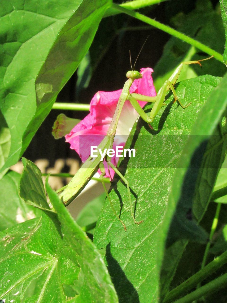 plant part, leaf, plant, green color, growth, close-up, pink color, beauty in nature, nature, no people, freshness, vulnerability, flower, fragility, day, flowering plant, animal, insect, animals in the wild, invertebrate, outdoors, flower head