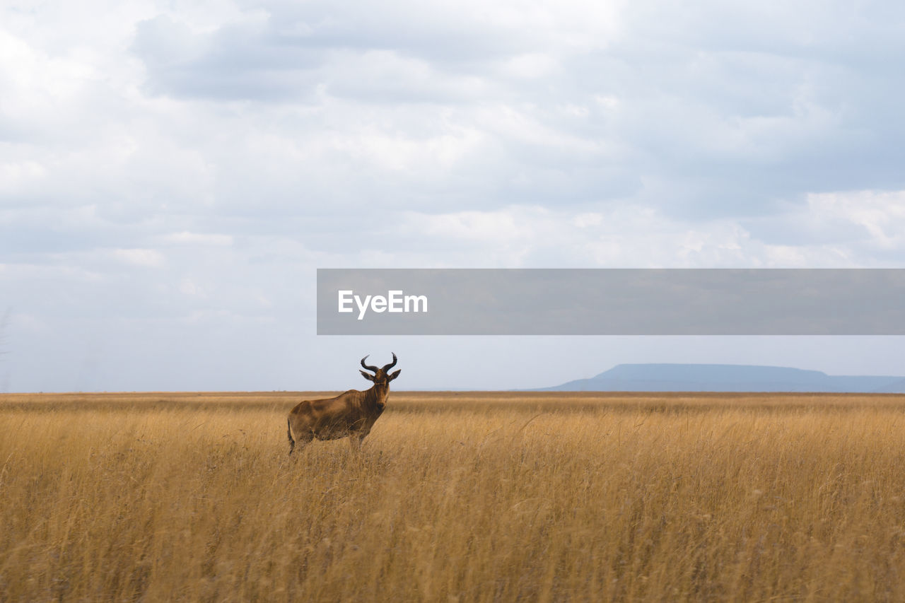 Stag standing on grassy field against cloudy sky