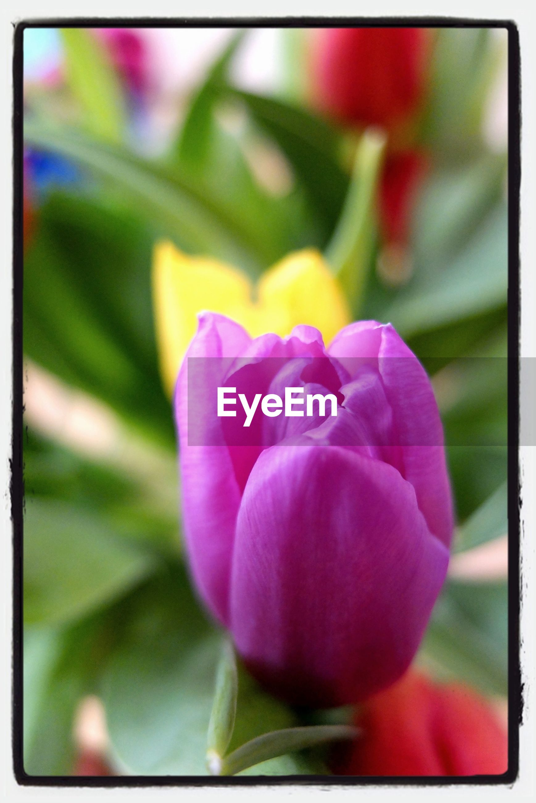 flower, petal, transfer print, flower head, freshness, fragility, growth, close-up, beauty in nature, auto post production filter, focus on foreground, blooming, nature, plant, single flower, purple, pink color, in bloom, blossom, selective focus