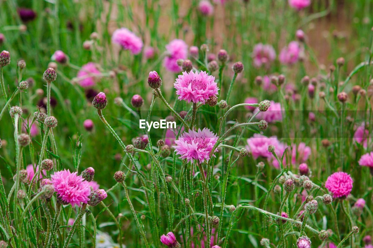 flower, flowering plant, plant, growth, beauty in nature, freshness, pink color, vulnerability, fragility, nature, purple, close-up, no people, flower head, inflorescence, green color, field, petal, day, focus on foreground, outdoors, flowerbed, springtime, herb, ornamental garden