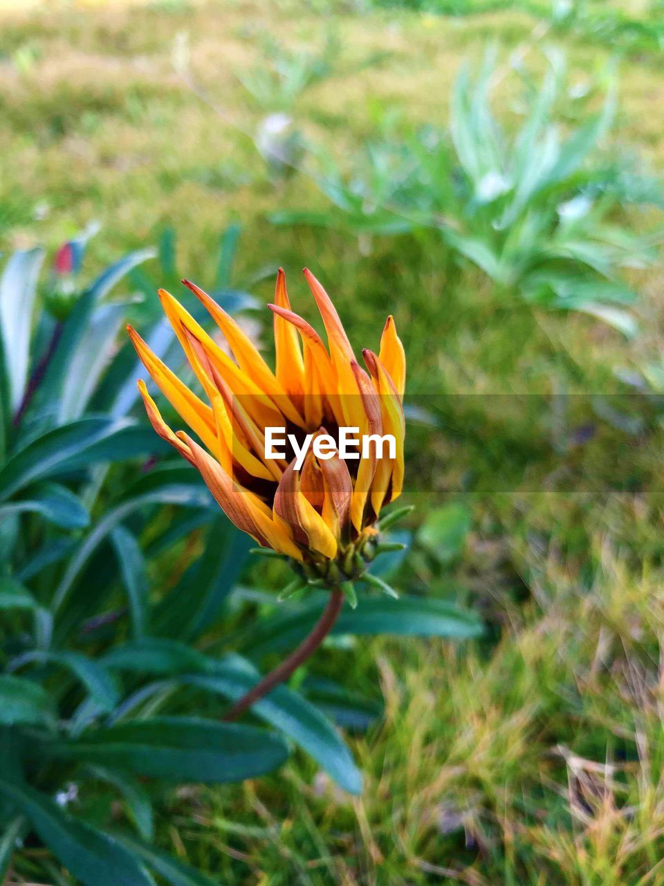 flowering plant, plant, flower, beauty in nature, growth, freshness, petal, fragility, vulnerability, flower head, inflorescence, close-up, orange color, day, nature, focus on foreground, no people, land, field, outdoors
