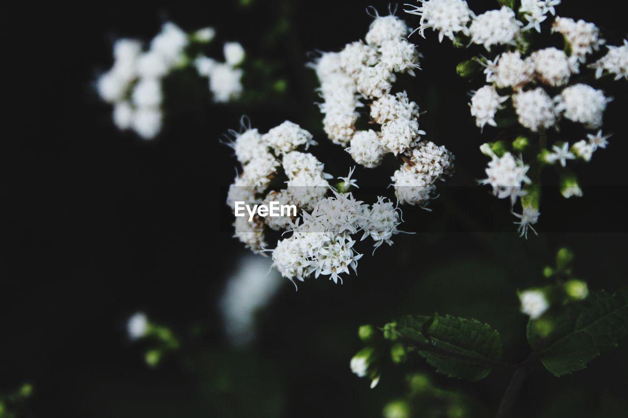 growth, flower, plant, vulnerability, fragility, flowering plant, beauty in nature, freshness, white color, nature, close-up, selective focus, day, no people, outdoors, focus on foreground, flower head, leaf, inflorescence, botany
