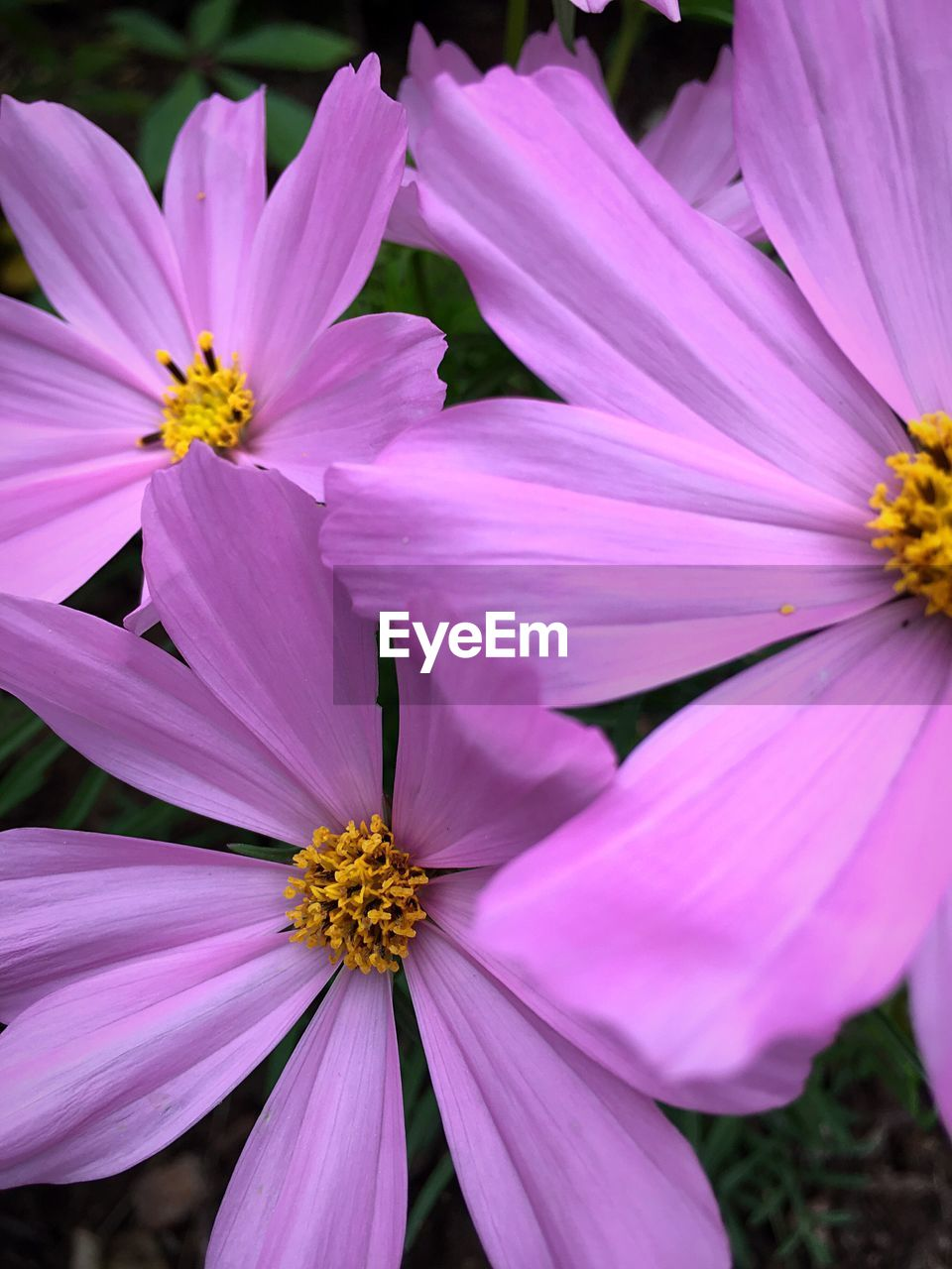 flower, petal, fragility, flower head, beauty in nature, freshness, nature, pollen, growth, blooming, outdoors, close-up, no people, pink color, plant, day, yellow, stamen, purple, cosmos flower, osteospermum