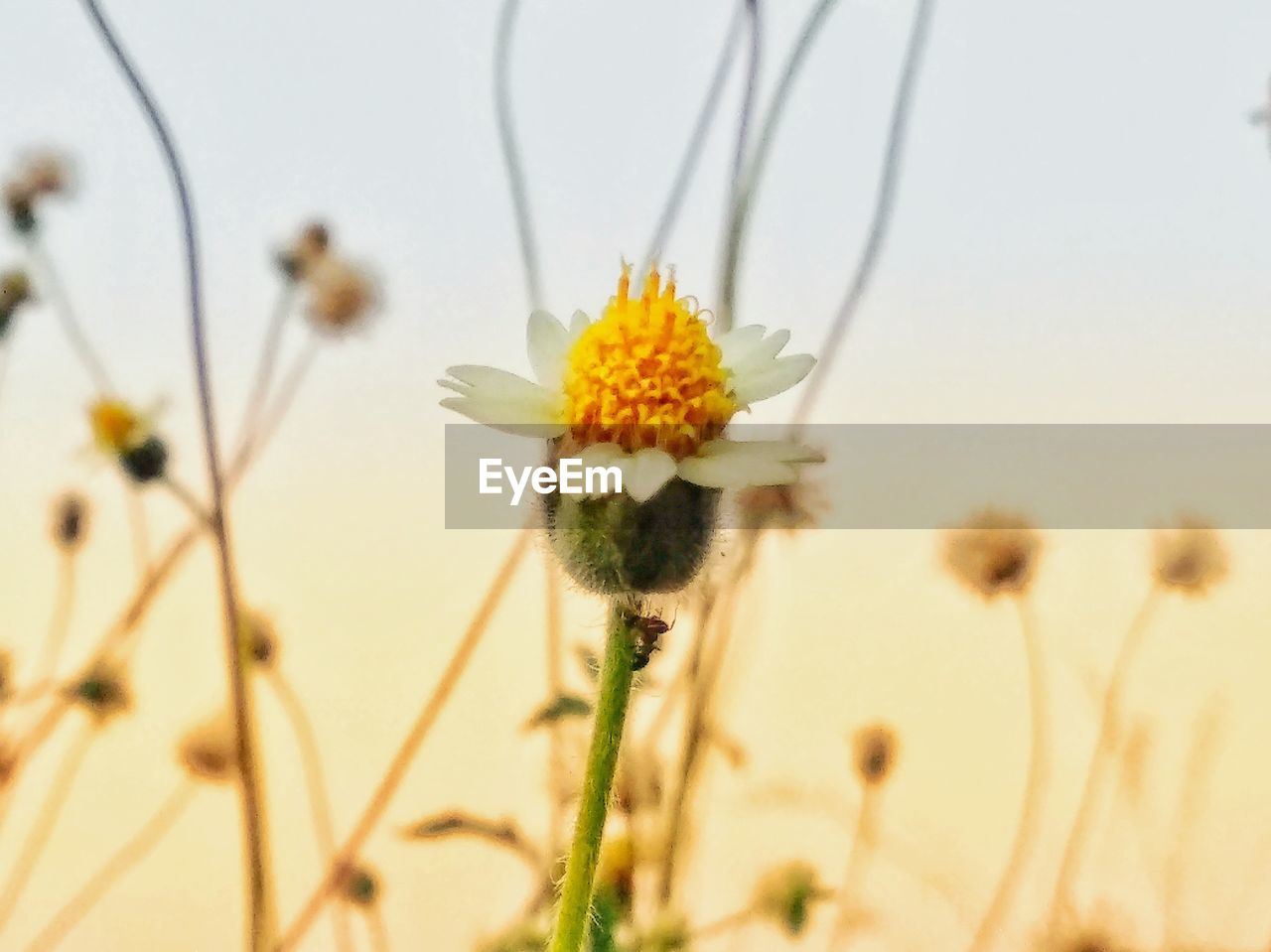 flower, plant, growth, nature, fragility, close-up, beauty in nature, focus on foreground, freshness, no people, day, flower head, outdoors, yellow, thistle, sky