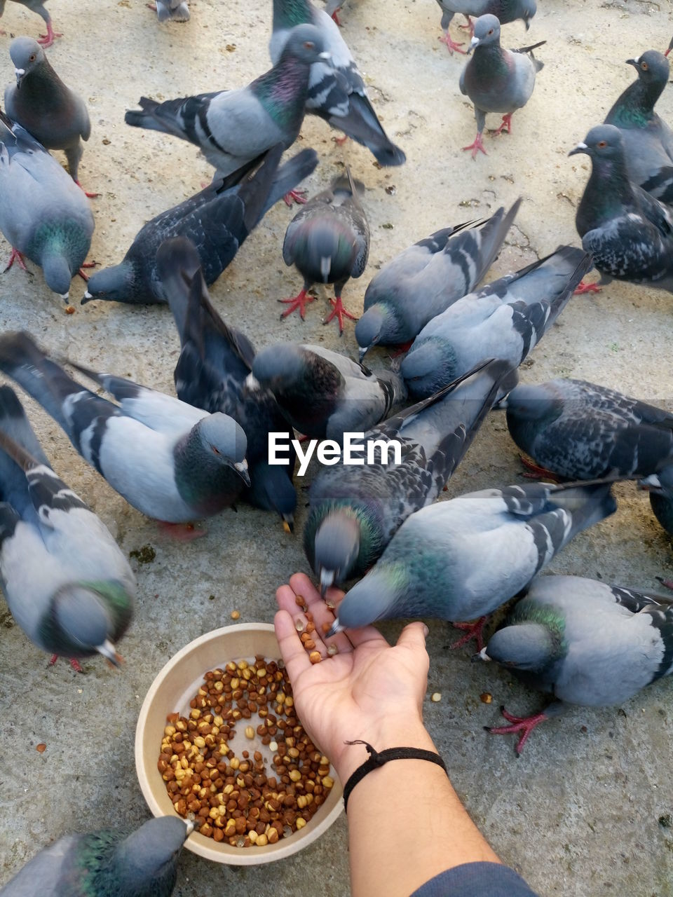Cropped Image Of Man Feeding Roasted Chick-Peas To Pigeons At Street