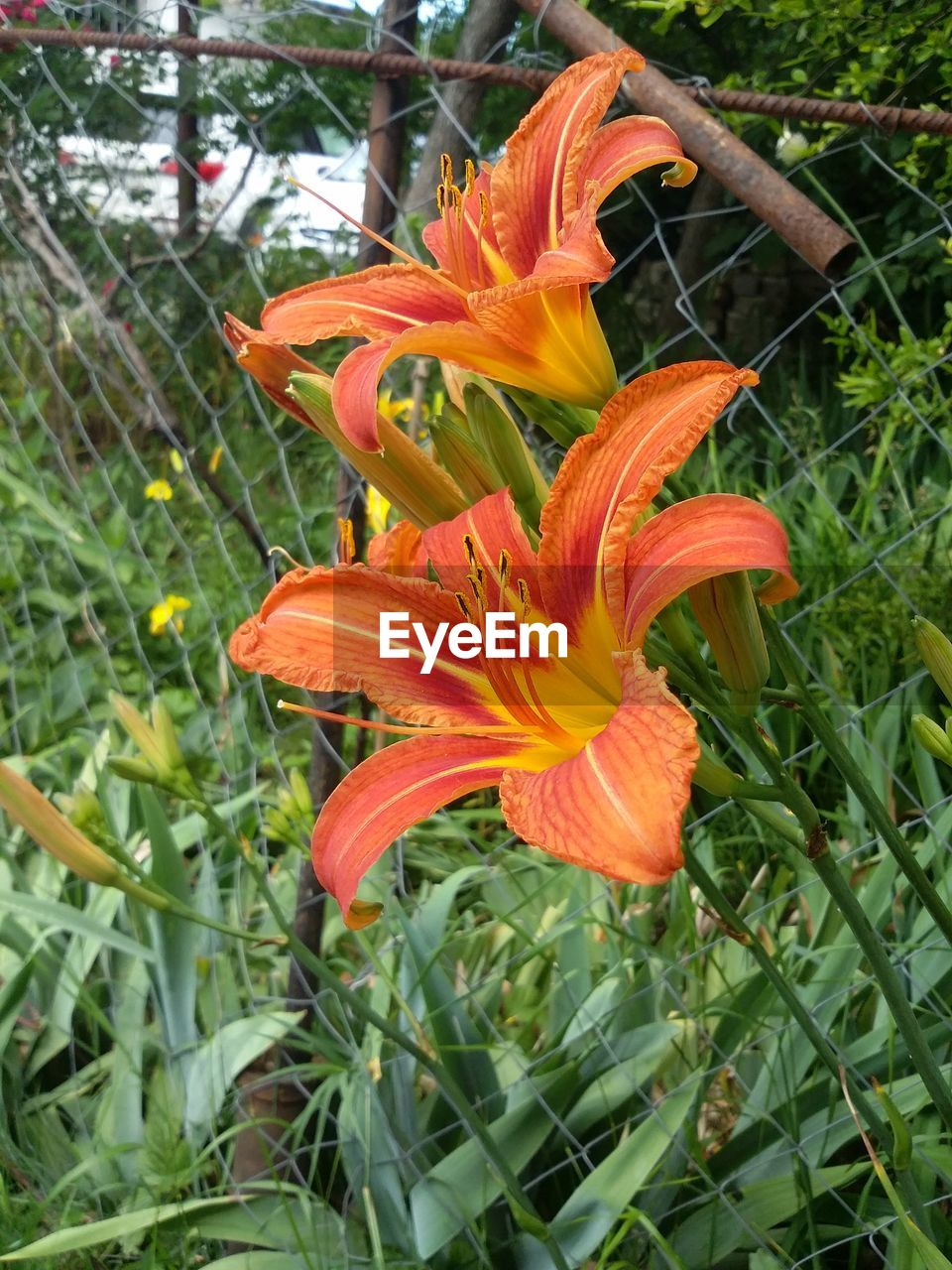 flower, growth, petal, orange color, nature, beauty in nature, freshness, fragility, plant, flower head, blooming, day lily, outdoors, no people, lily, day, close-up