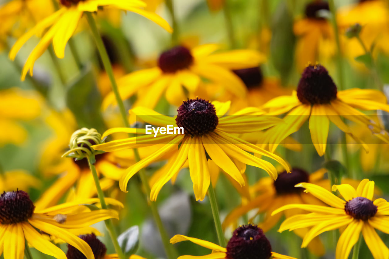 flower, flowering plant, yellow, coneflower, freshness, growth, beauty in nature, petal, close-up, fragility, vulnerability, plant, black-eyed susan, flower head, inflorescence, focus on foreground, no people, day, pollen, nature, outdoors