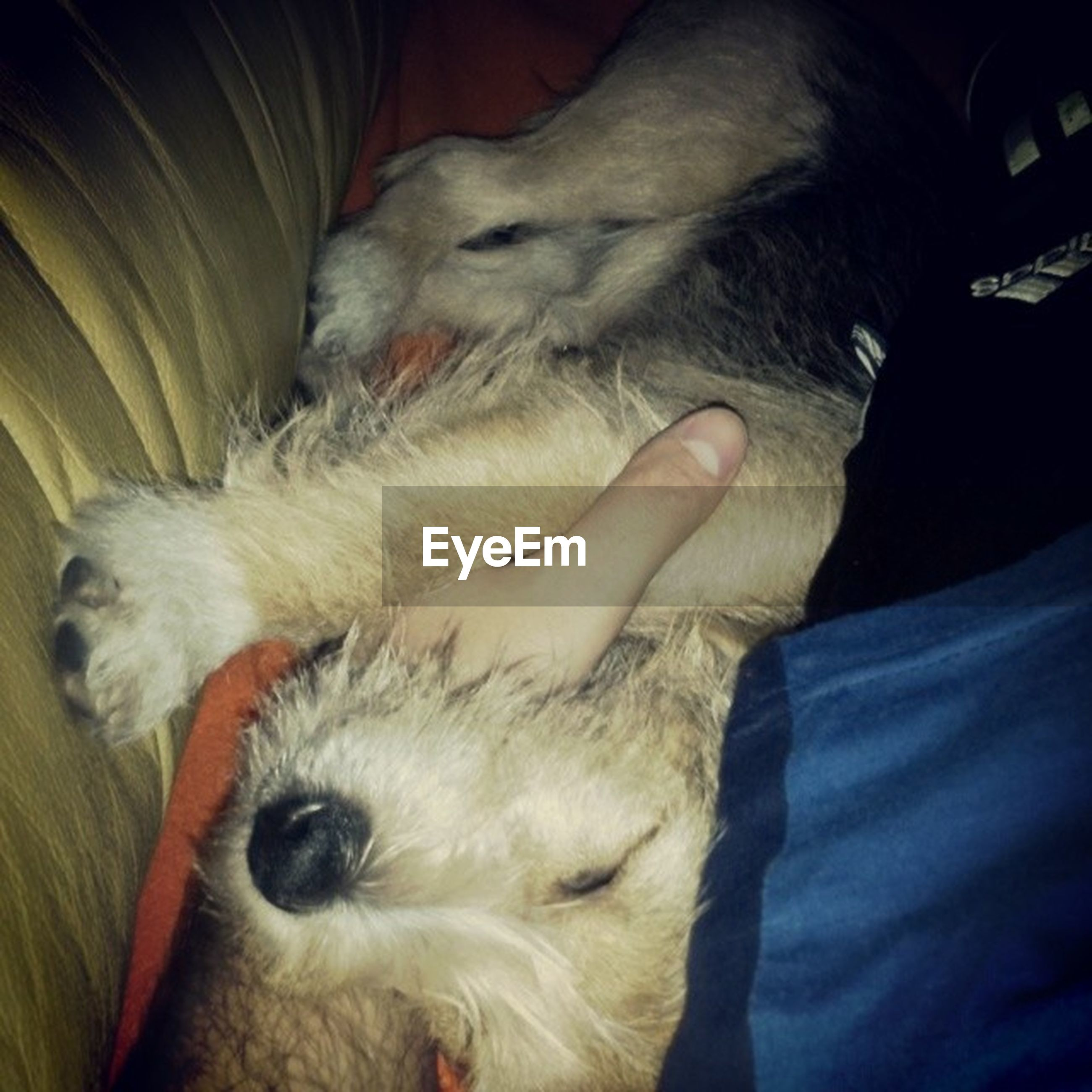 domestic animals, pets, one animal, mammal, animal themes, dog, indoors, relaxation, sleeping, resting, lying down, bed, home interior, eyes closed, close-up, one person, animal head, part of, sofa, pampered pets