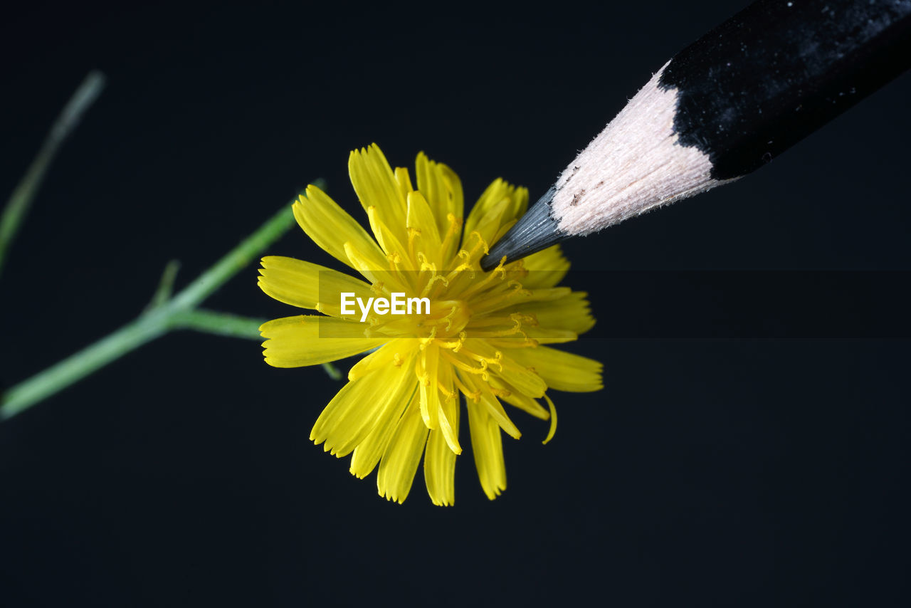 flower, flowering plant, plant, close-up, fragility, vulnerability, petal, freshness, yellow, studio shot, flower head, black background, inflorescence, beauty in nature, nature, indoors, no people, growth, pollen
