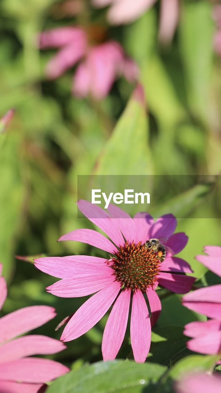flower, flowering plant, vulnerability, plant, fragility, petal, freshness, beauty in nature, growth, flower head, pink color, inflorescence, close-up, focus on foreground, pollen, day, nature, insect, no people, green color, pollination, purple
