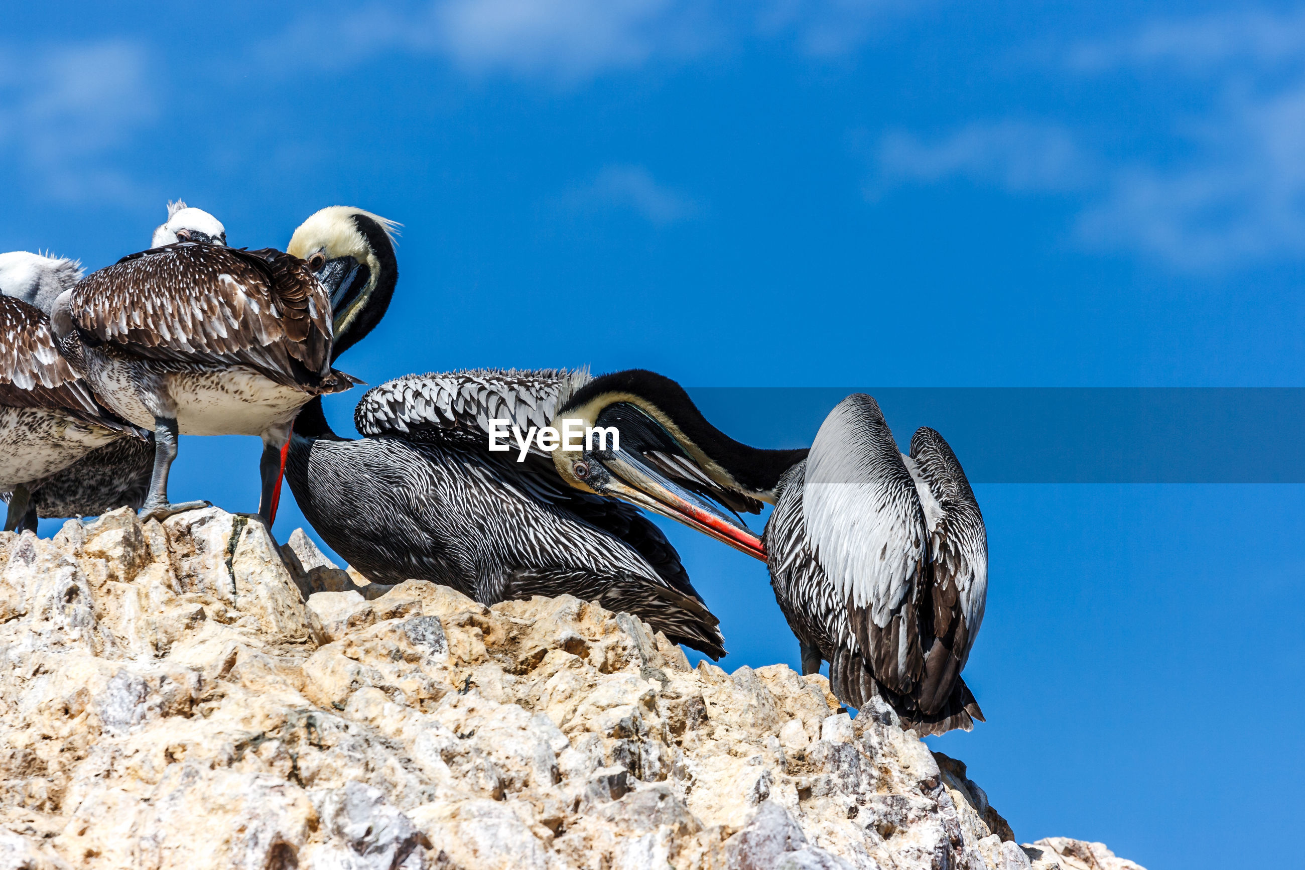 Low angle view of pelicans perching on rock against blue sky