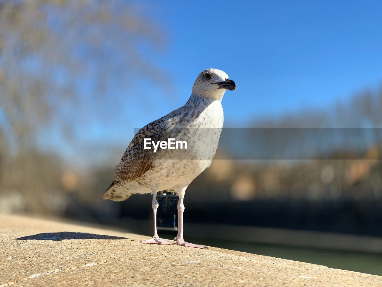 bird, animal themes, one animal, animals in the wild, animal, vertebrate, animal wildlife, focus on foreground, sunlight, perching, nature, day, seagull, close-up, no people, wall, retaining wall, outdoors, sunny, full length