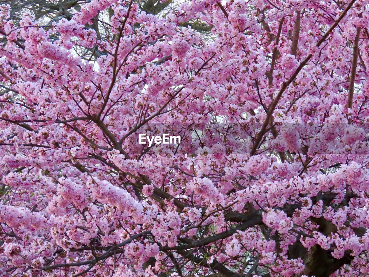flowering plant, flower, pink color, plant, fragility, beauty in nature, blossom, growth, freshness, springtime, tree, cherry blossom, vulnerability, branch, nature, cherry tree, day, no people, botany, close-up, outdoors, flower head, bunch of flowers, spring
