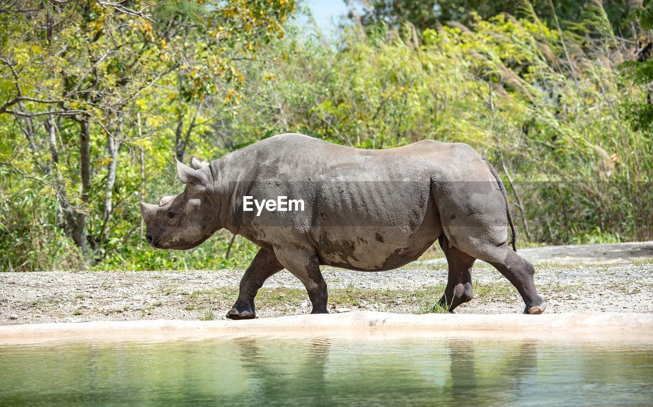 Side view of rhinoceros